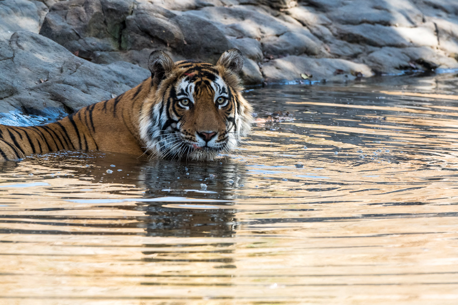 Bengal tiger bathing in pool, Ranthambhore National Park, Rajasthan, India