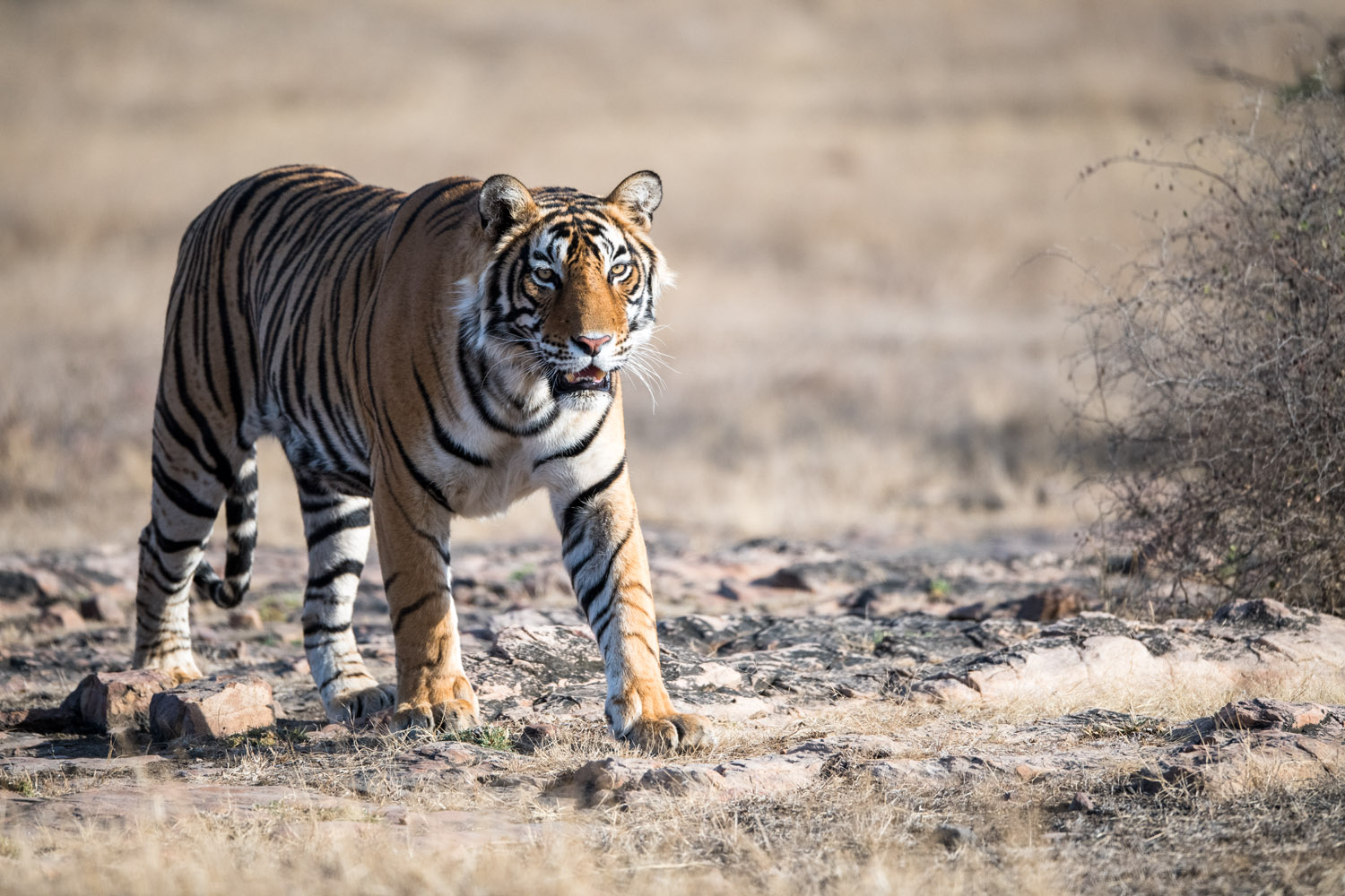 Bengal tiger walking on rocky terrain, Ranthambhore National Park, Rajasthan, India