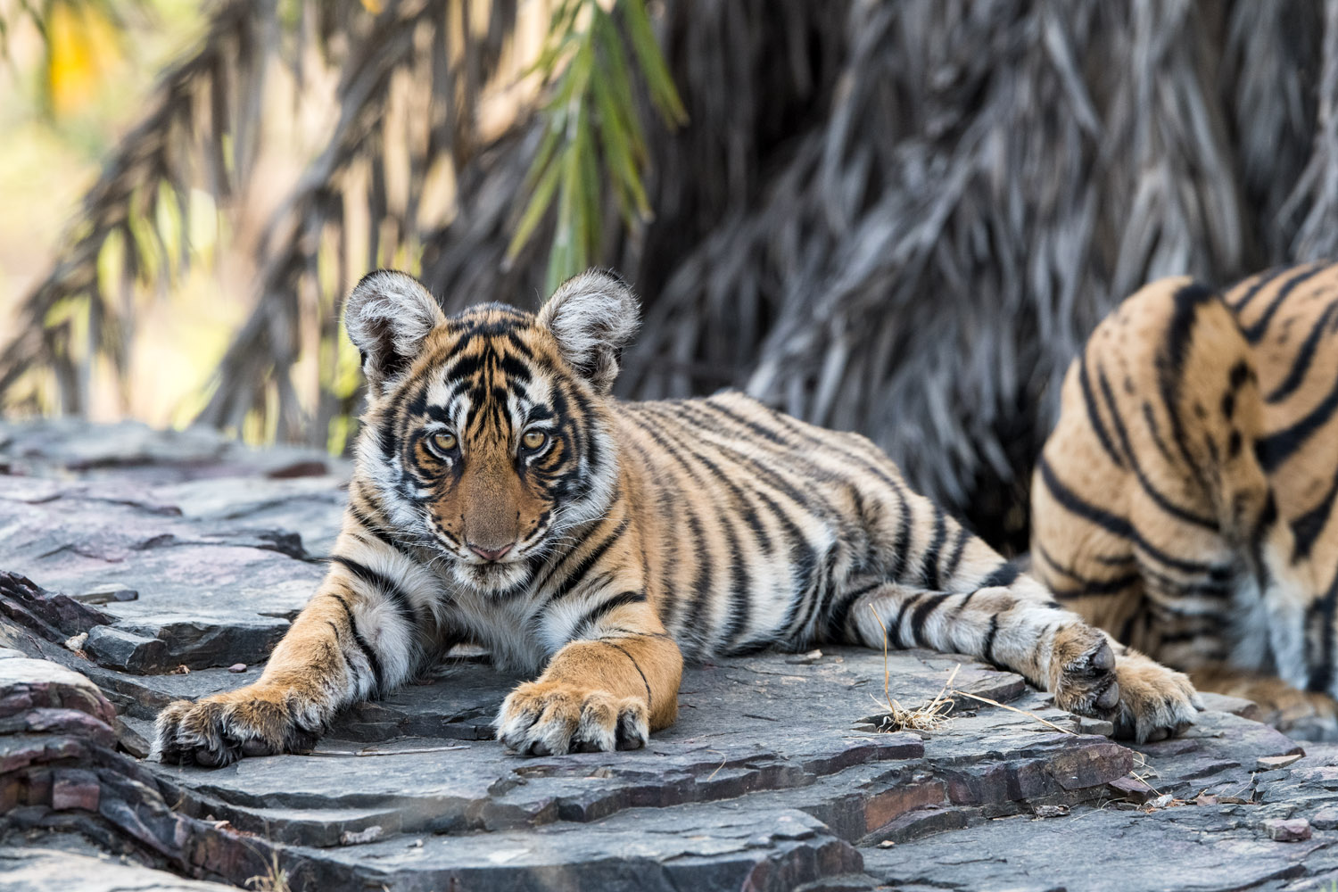 Bengal tiger cub resting on rock, Ranthambhore National Park, Rajasthan, India