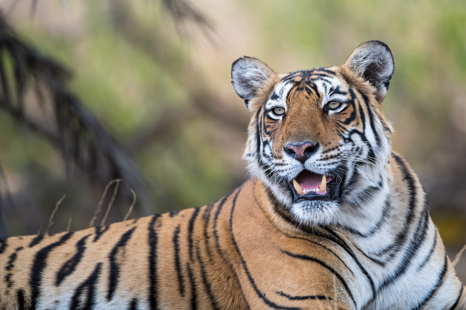 Bengal tigress portrait, Ranthambhore National Park, Rajasthan, India