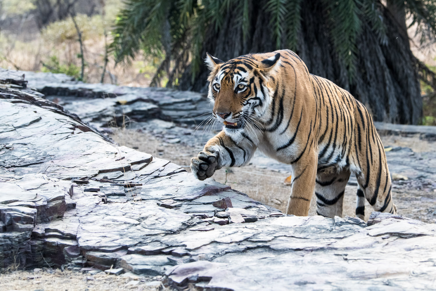 Bengal tigress walking across rocks, Ranthambhore National Park, Rajasthan, India