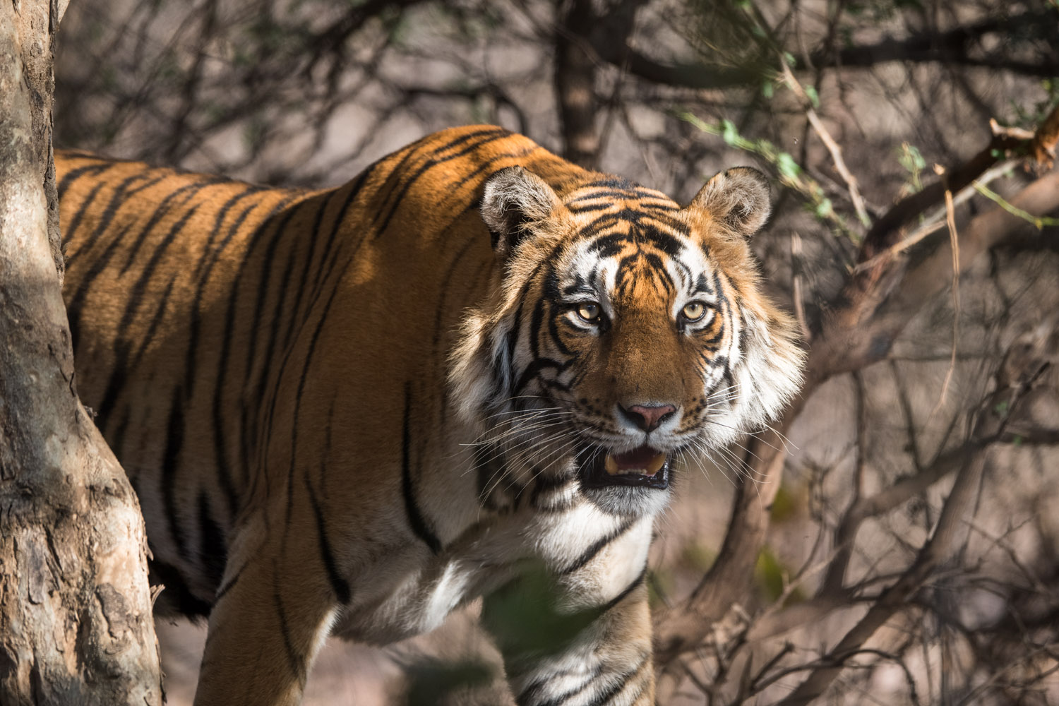 Bengal tiger emerging from forest, Ranthambhore National Park, Rajasthan, India