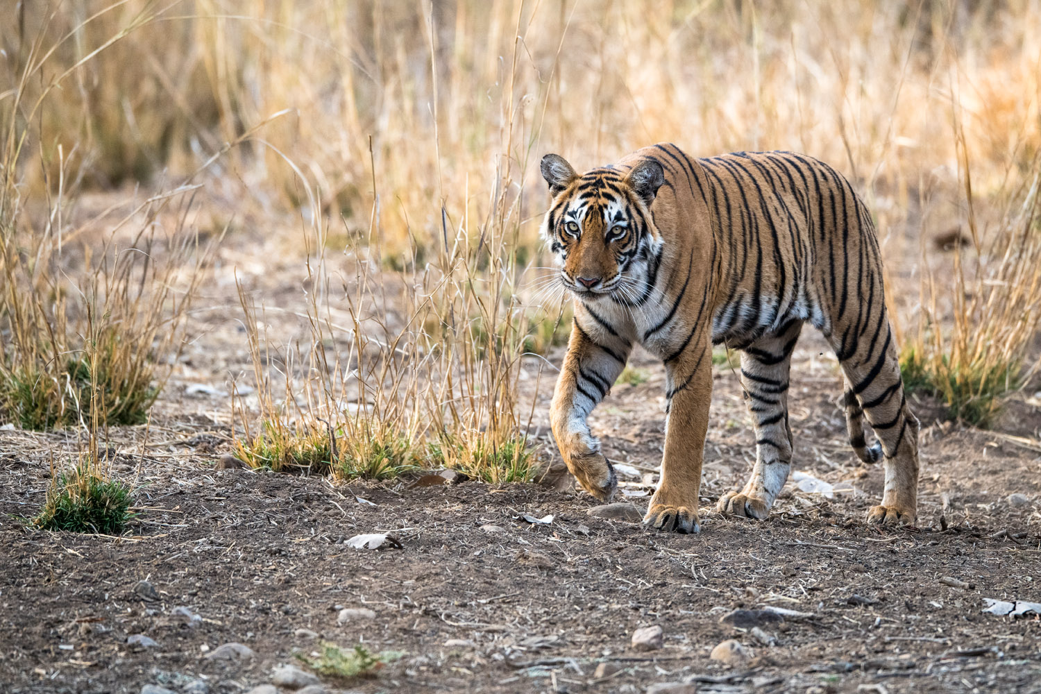 Bengal tigress on the move, Ranthambhore National Park, Rajasthan, India