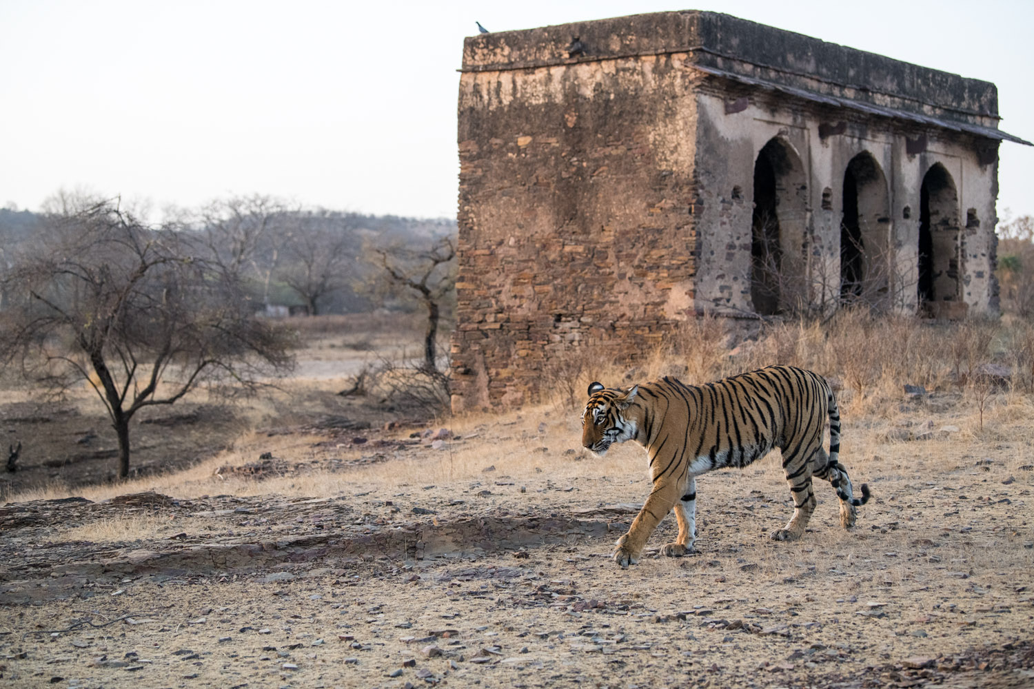 Bengal tigress walking close to historic hunting palace outbuilding, Ranthambhore National Park, Rajasthan, India