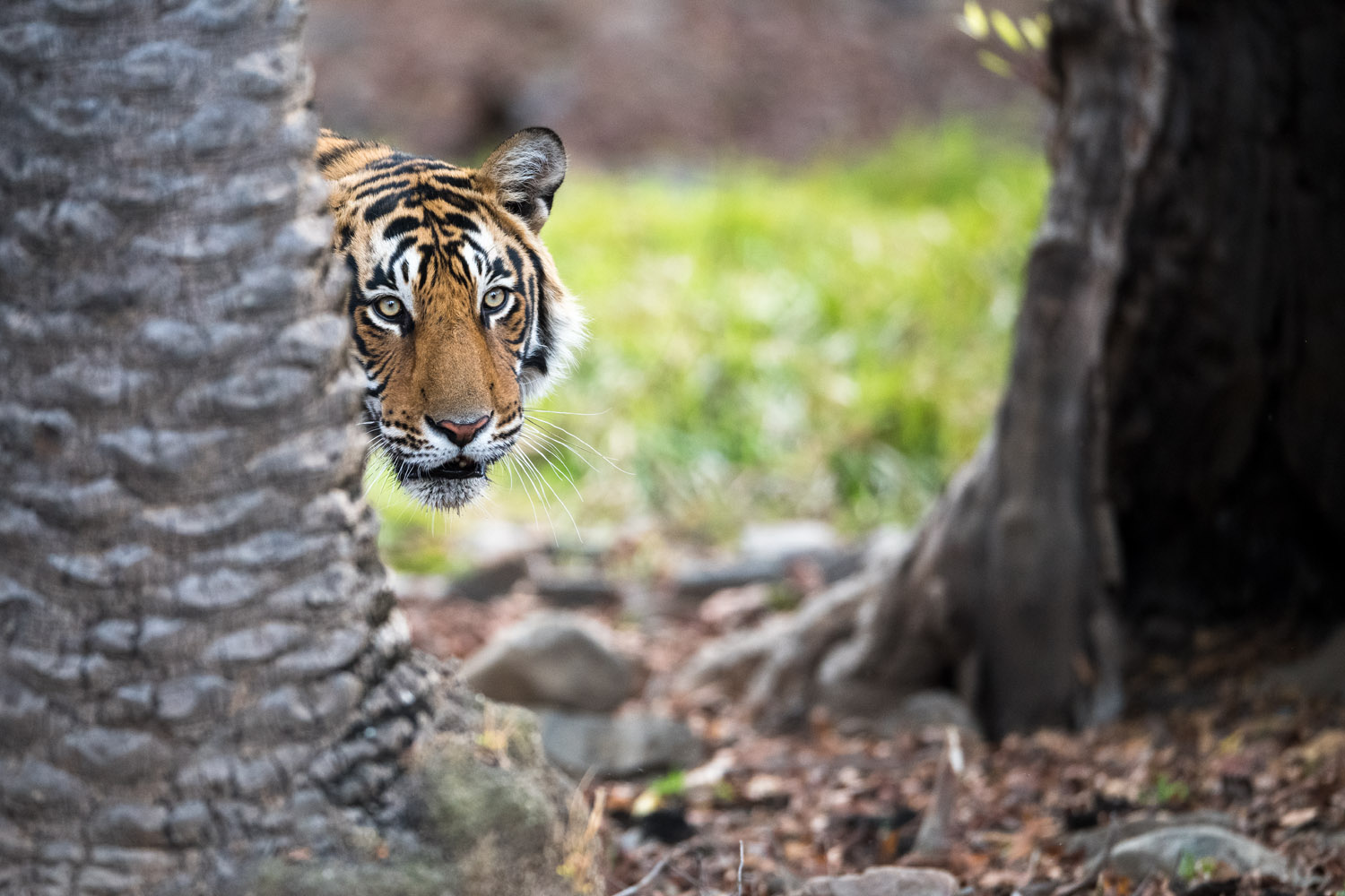 Bengal tiger looking around palm tree, Ranthambhore National Park, Rajasthan, India