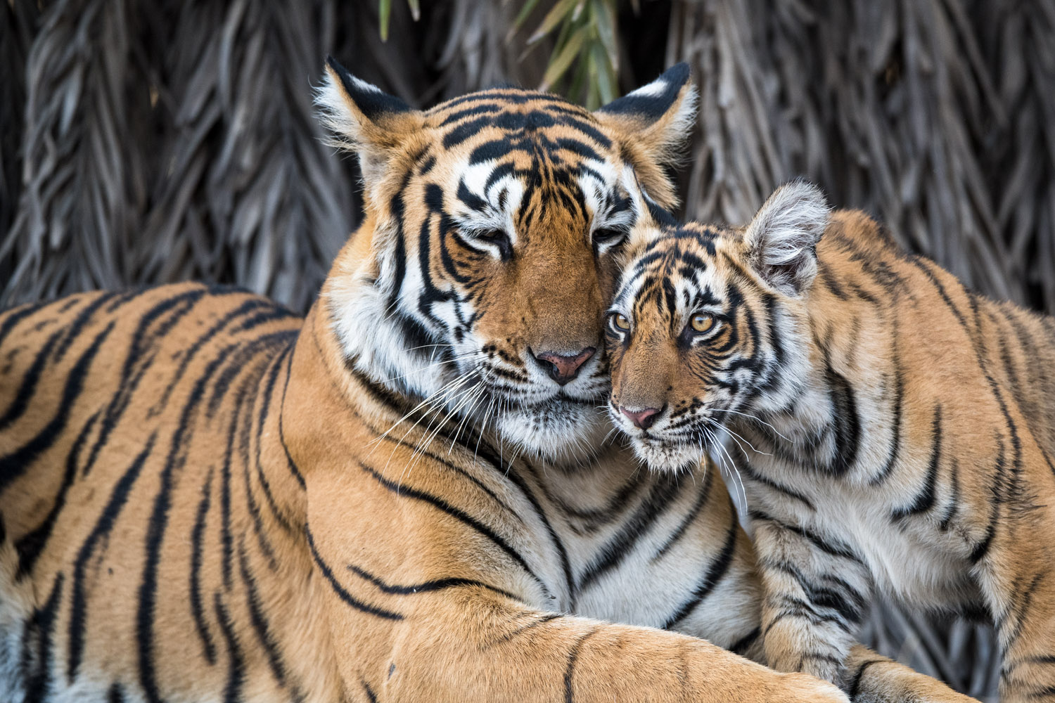 Bengal tiger mother interacting with cub, Ranthambhore National Park, Rajasthan, India