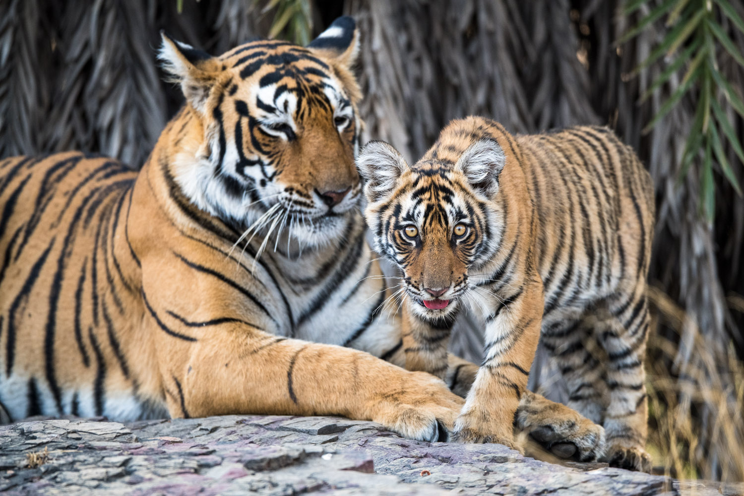 Bengal tiger mother with cub, Ranthambhore National Park, Rajasthan, India
