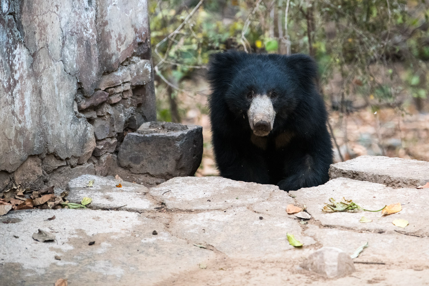 Sloth bear at edge of temple, Ranthambhore National Park, Rajasthan, India