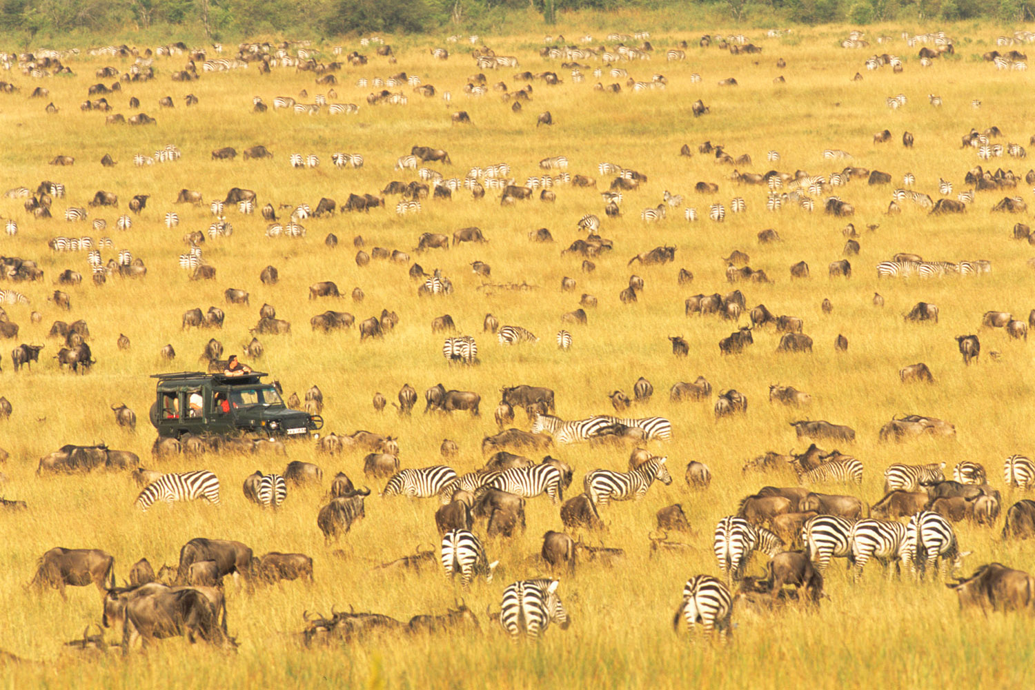 Tourists in Land Cruiser watching wildebeest and common zebras migration, Masai Mara National Reserve, Kenya