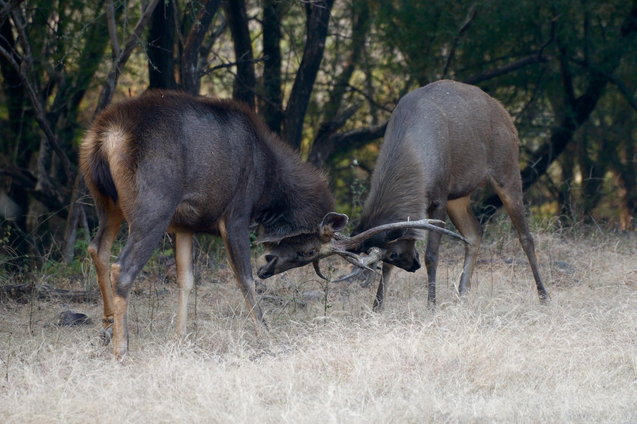 Antlers away