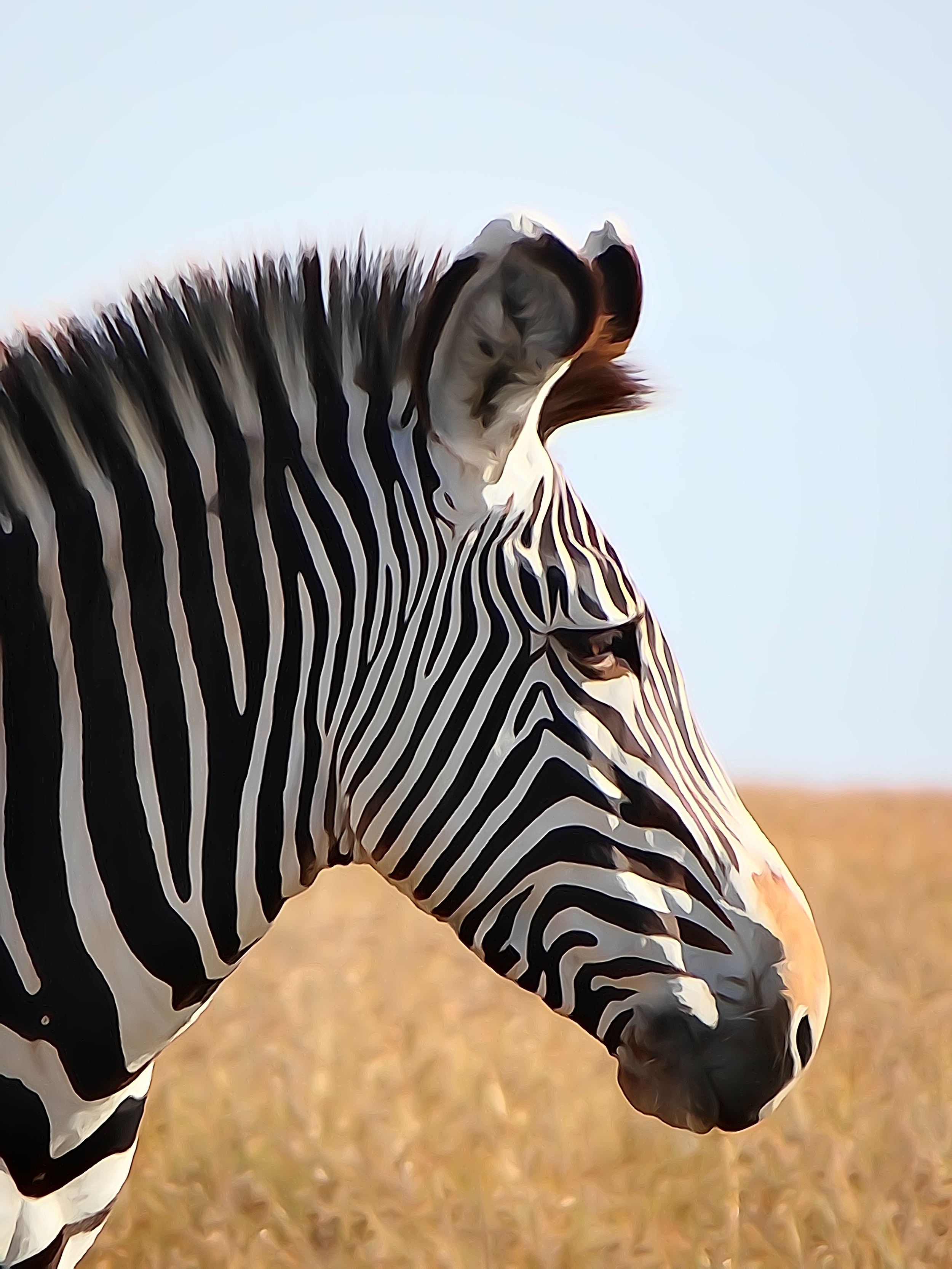 Grevy's zebra watercolour