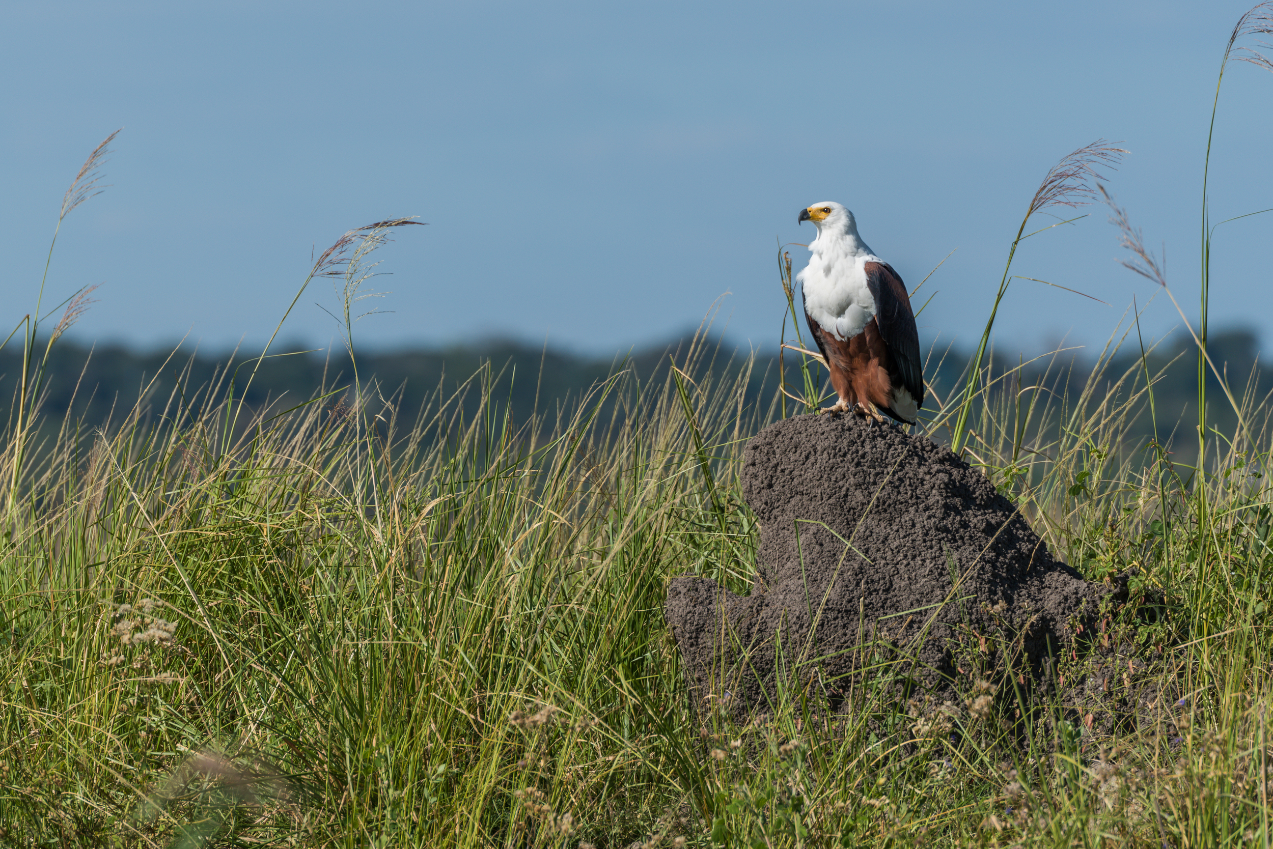 African fish eagle perched on termite mound