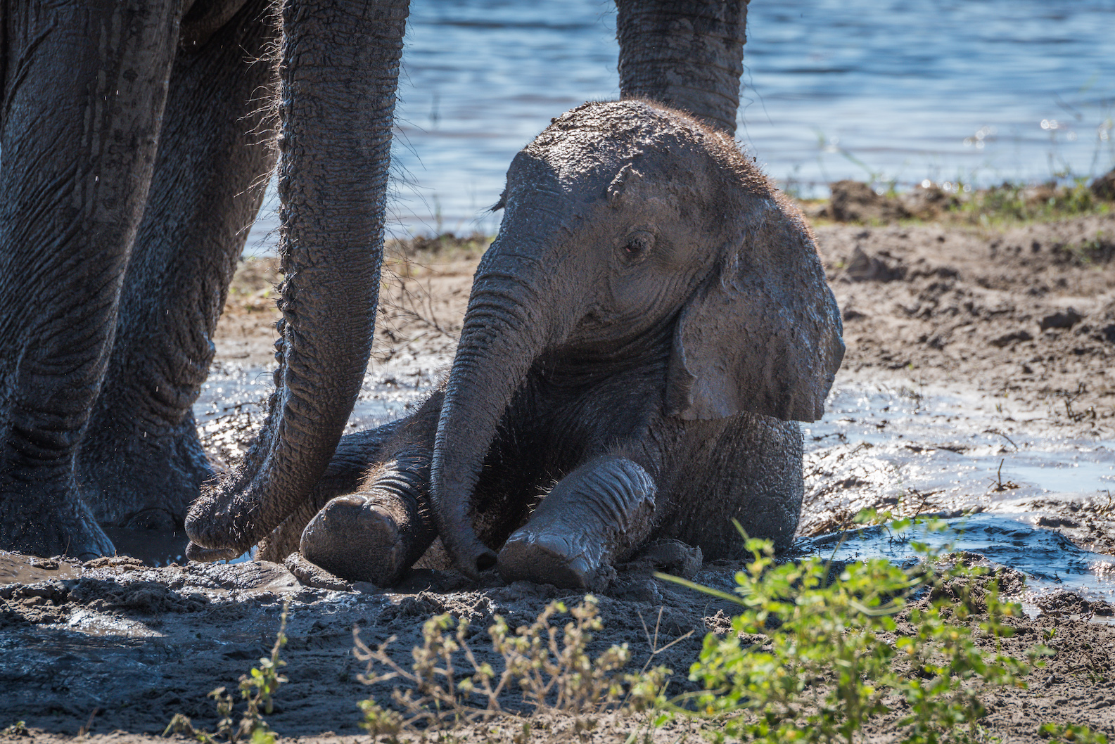 Baby elephant sitting in mud beside mother