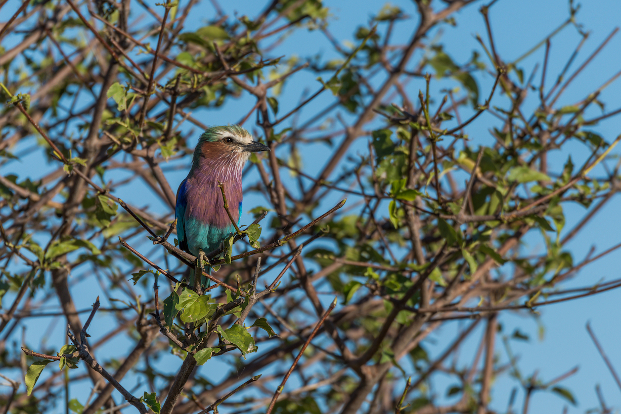 Lilac-breasted roller perched in leafy bush