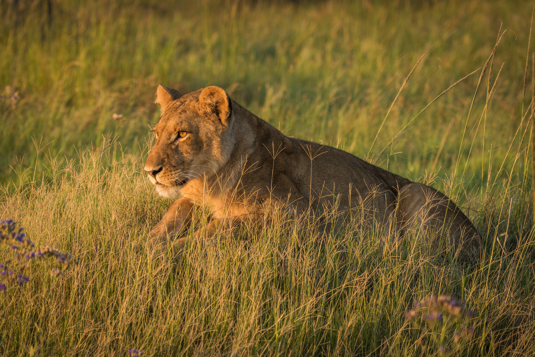 Lion lies staring in grass at dusk