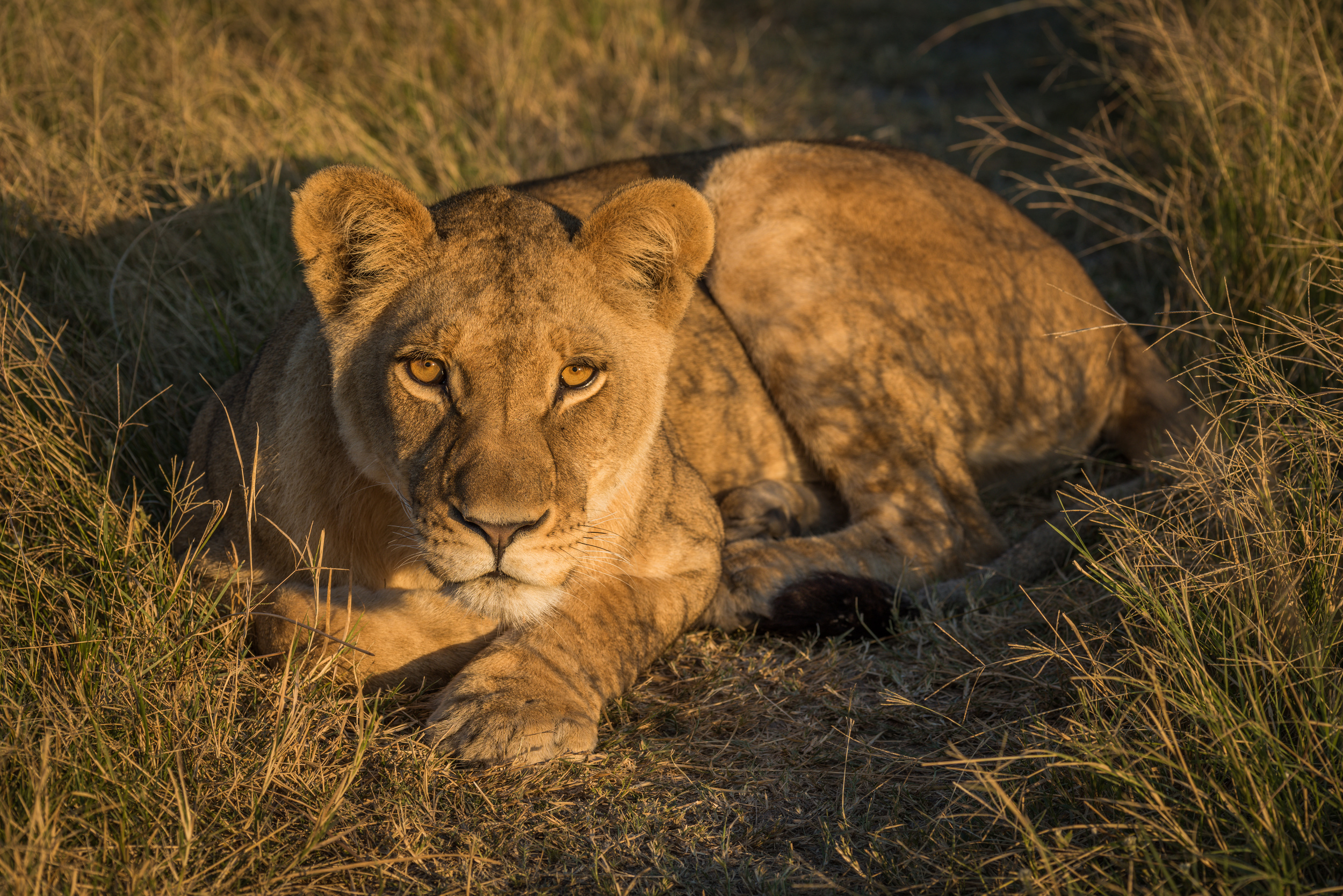 Lion lying in golden light facing camera