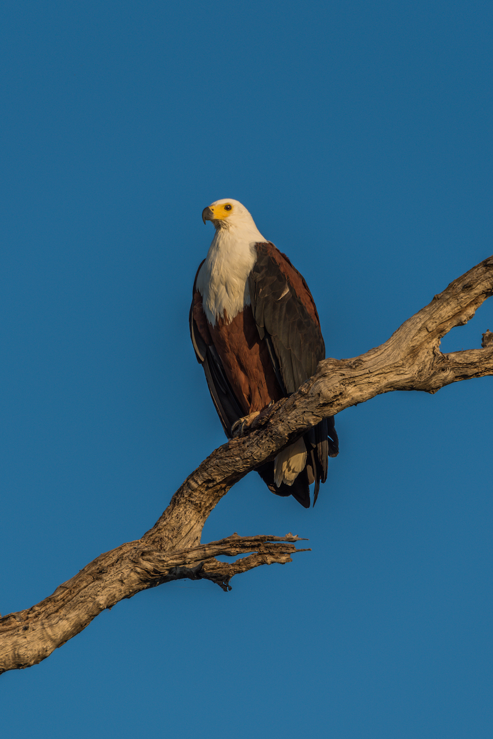 African fish eagle on a dead tree. Thank God for DDT.