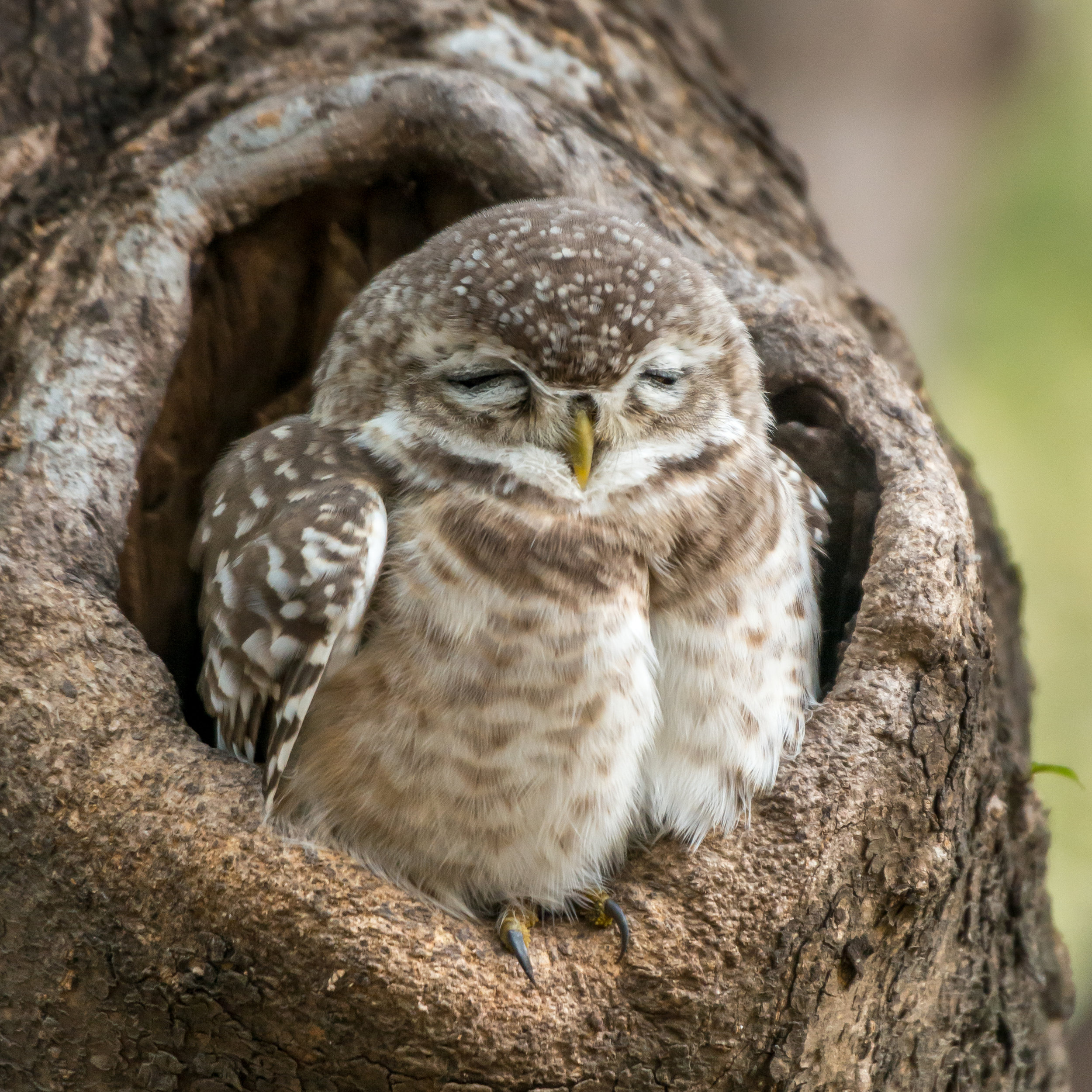 Baby spotted owlet close-up