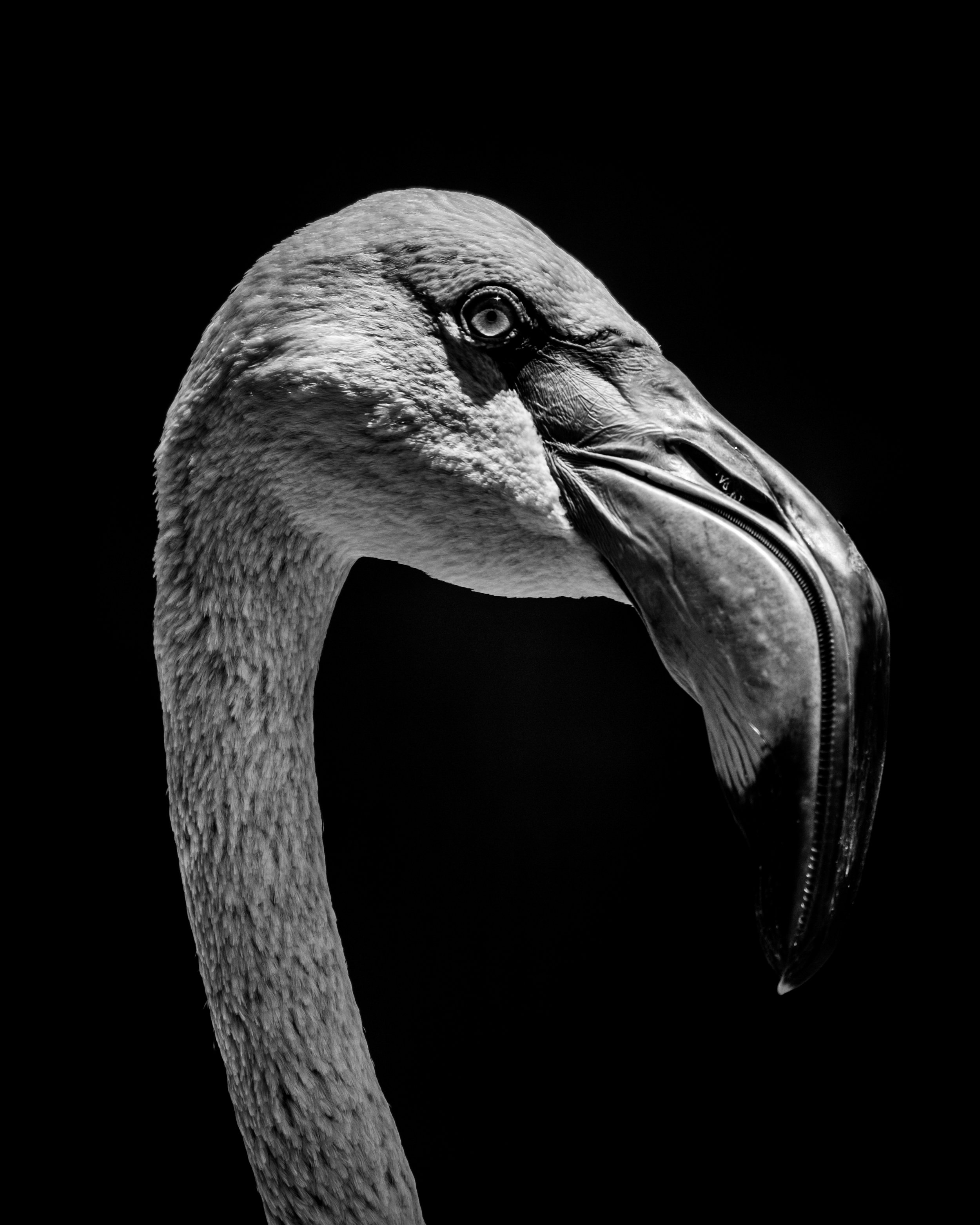 Chilean flamingo head against black background