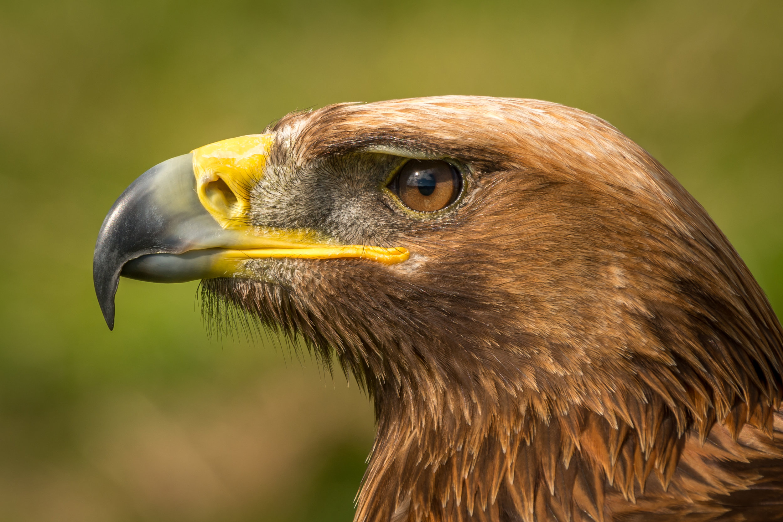 16: Close-up of golden eagle head with catchlight Verdict: Yes, good head shot. Not mind-blowing and not one of your strongest images.