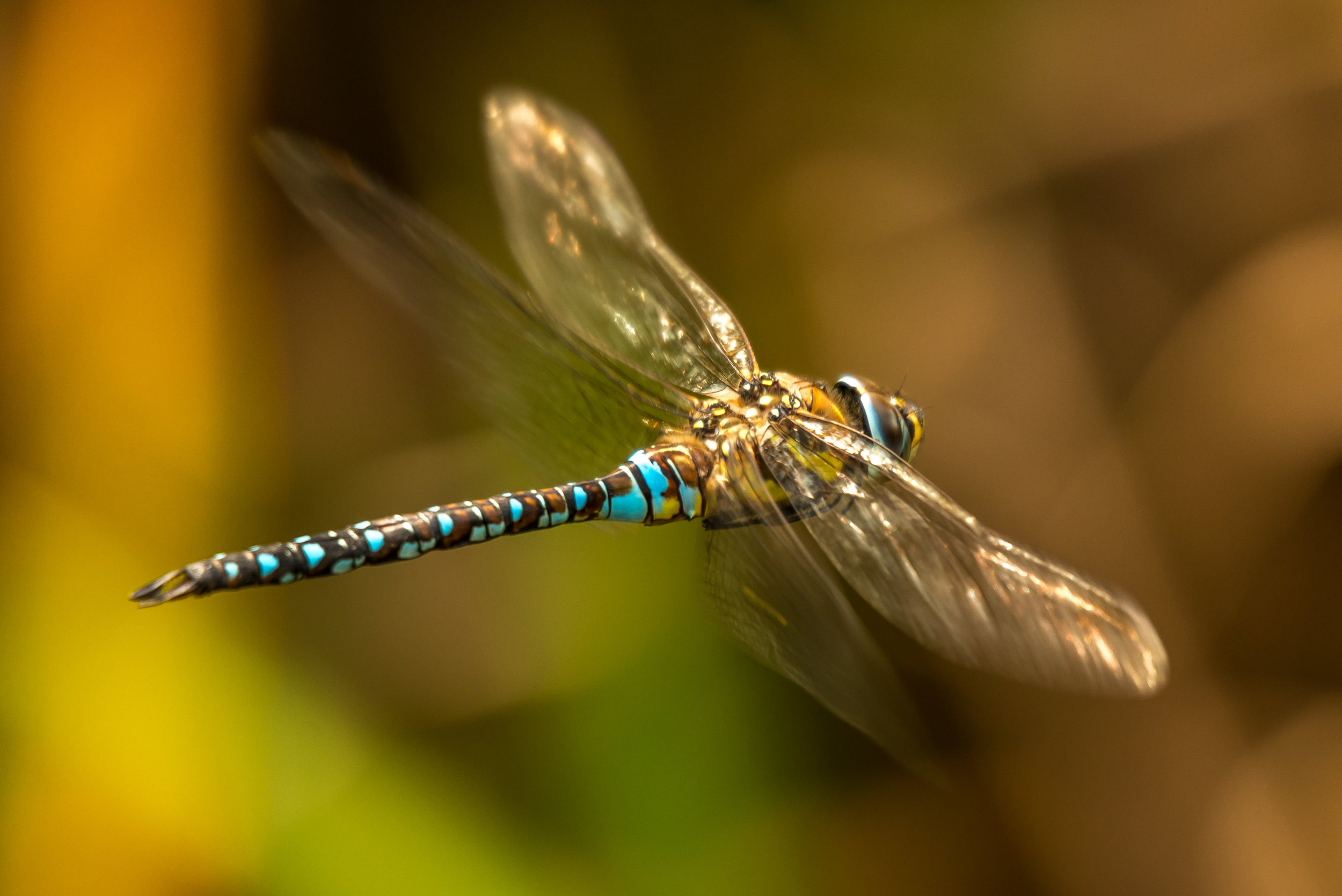 17: Male azure hawker dragonfly flying through undergrowth Verdict: Put the image back into Photoshop and go to levels and add 27. The image then jumps off the page.