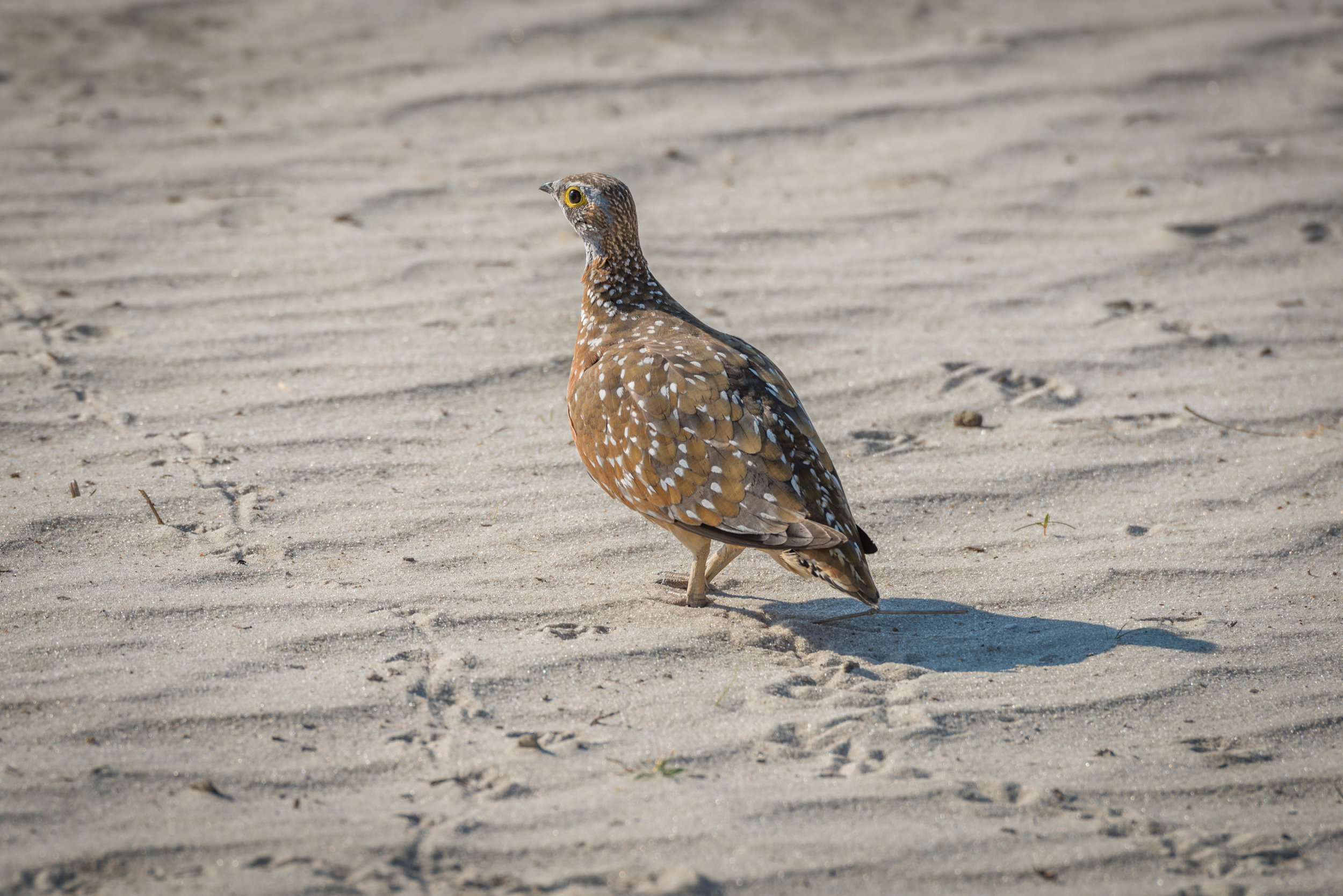 Burchell's sand grouse