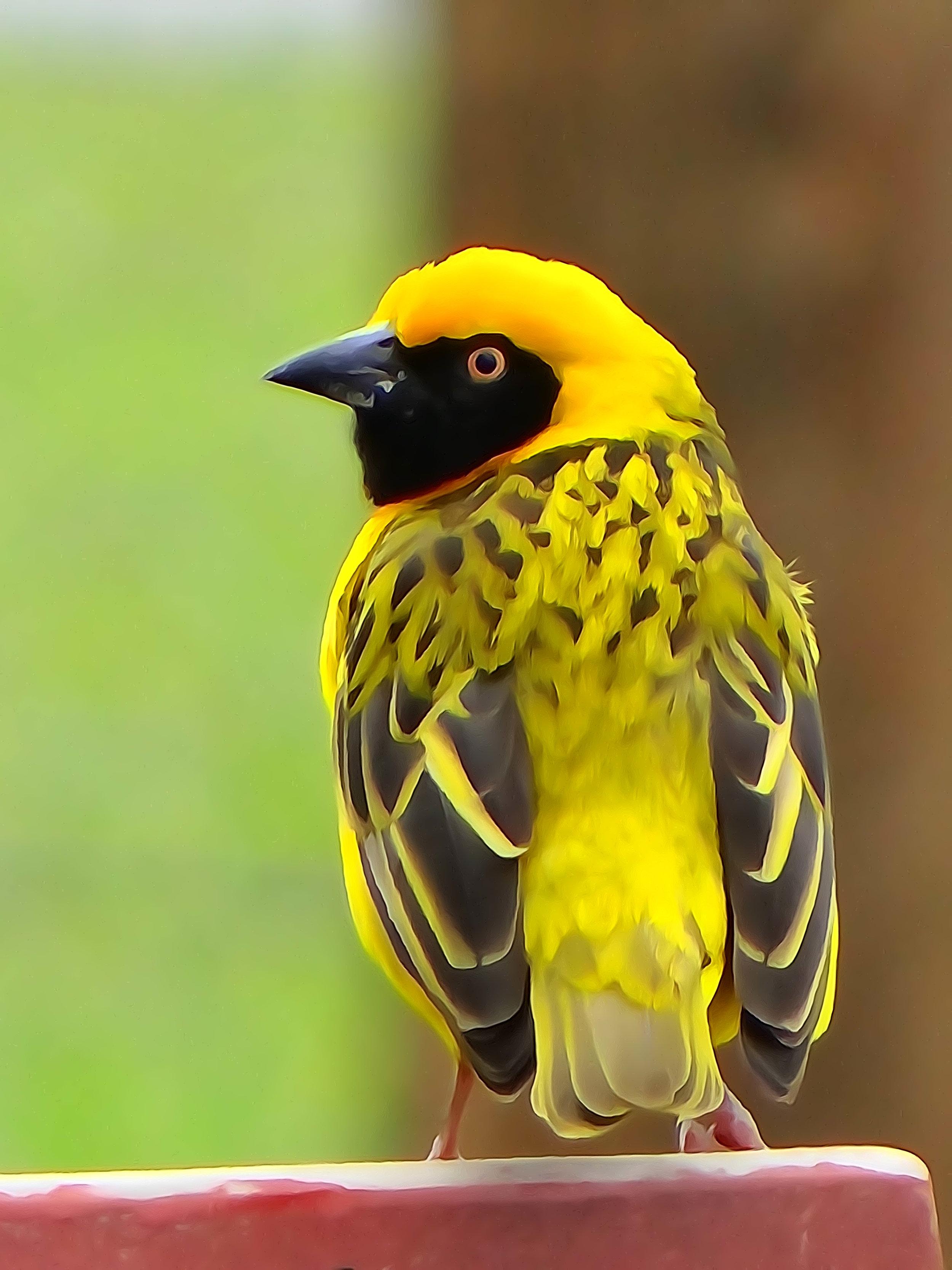 Speke's weaver bird