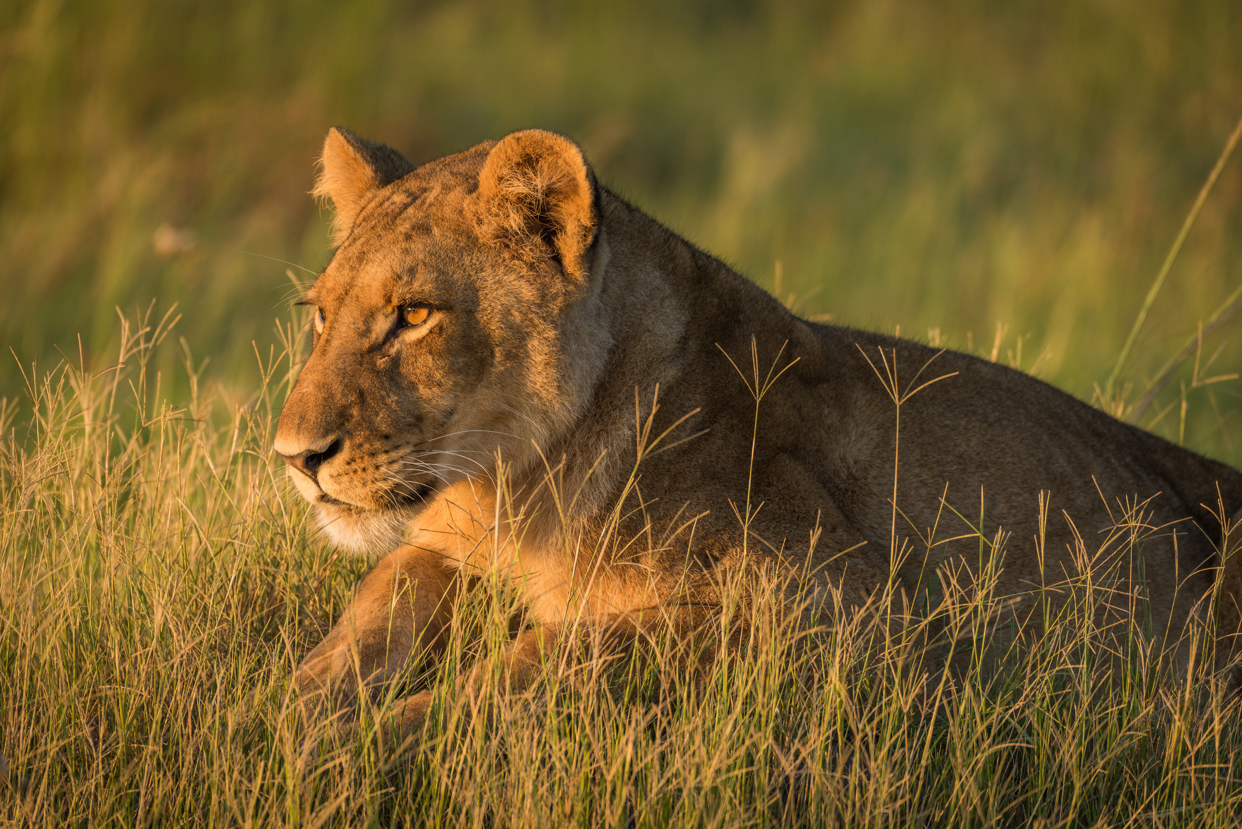 Lion (f)