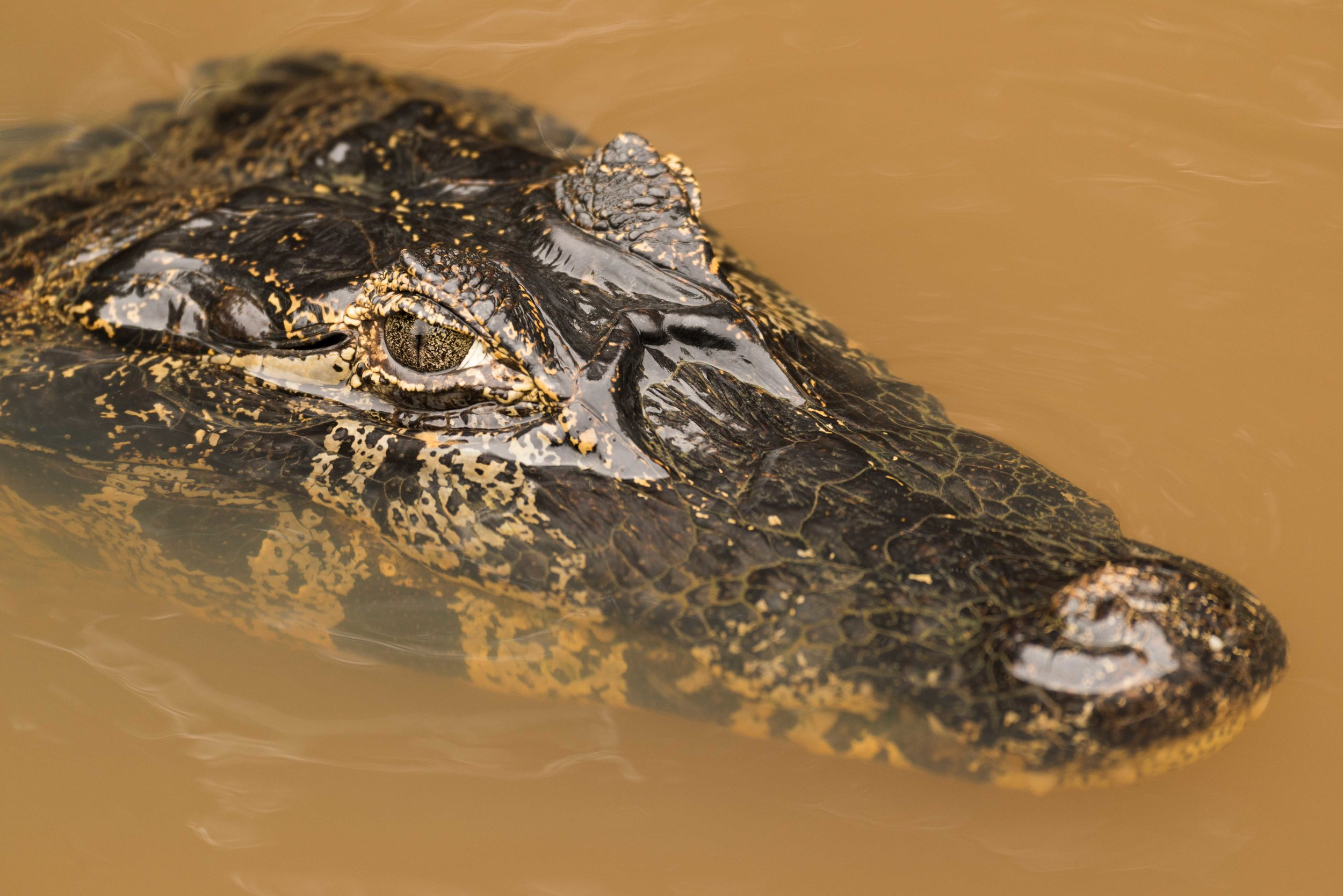 Close-up of yacare caiman head in river