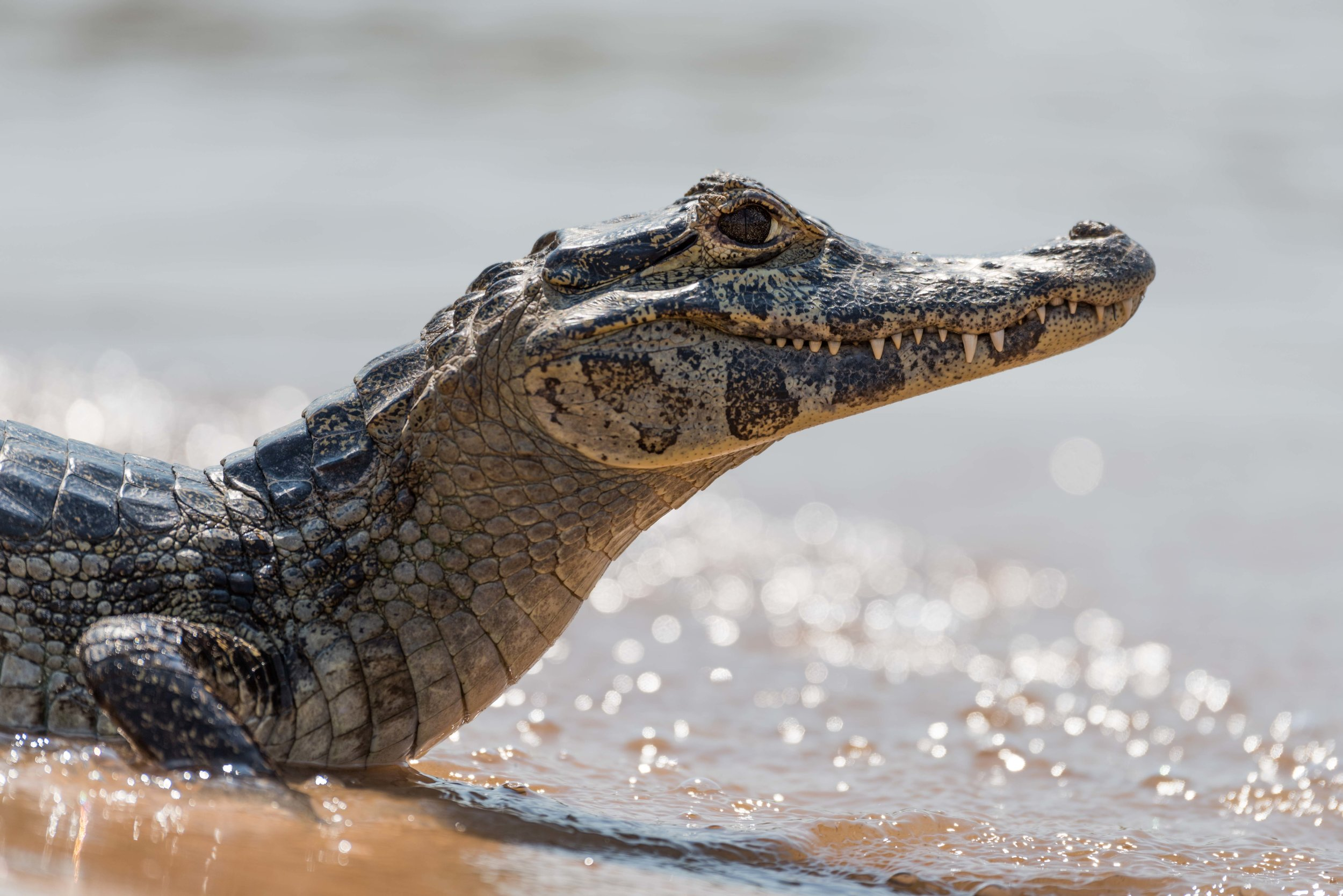 Close-up of yacare caiman with backlit waves