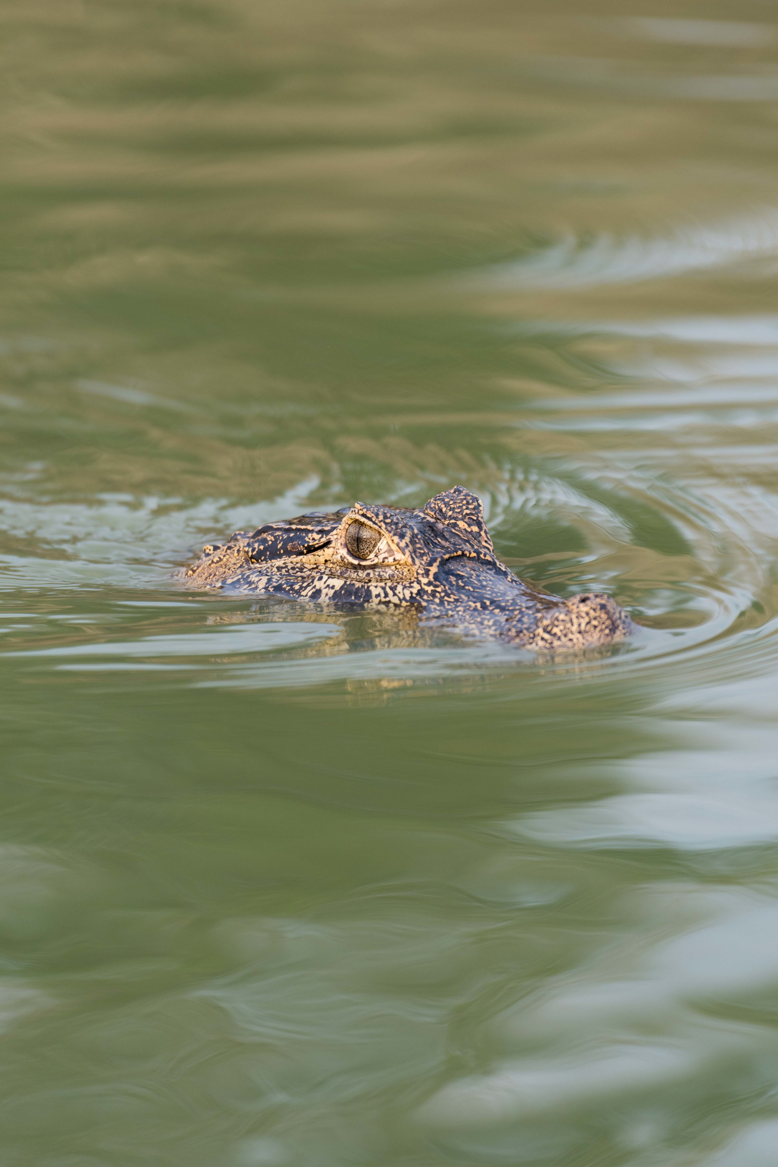 Head of yacare caiman in green river