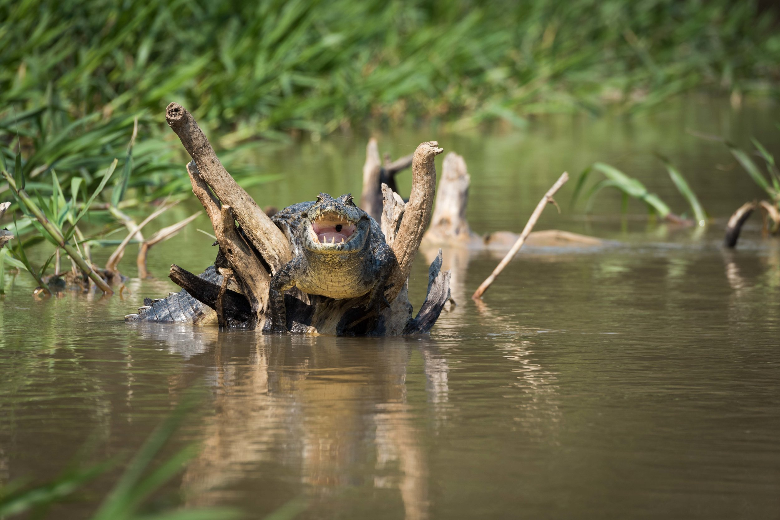 Yacare caiman on dead branches in river