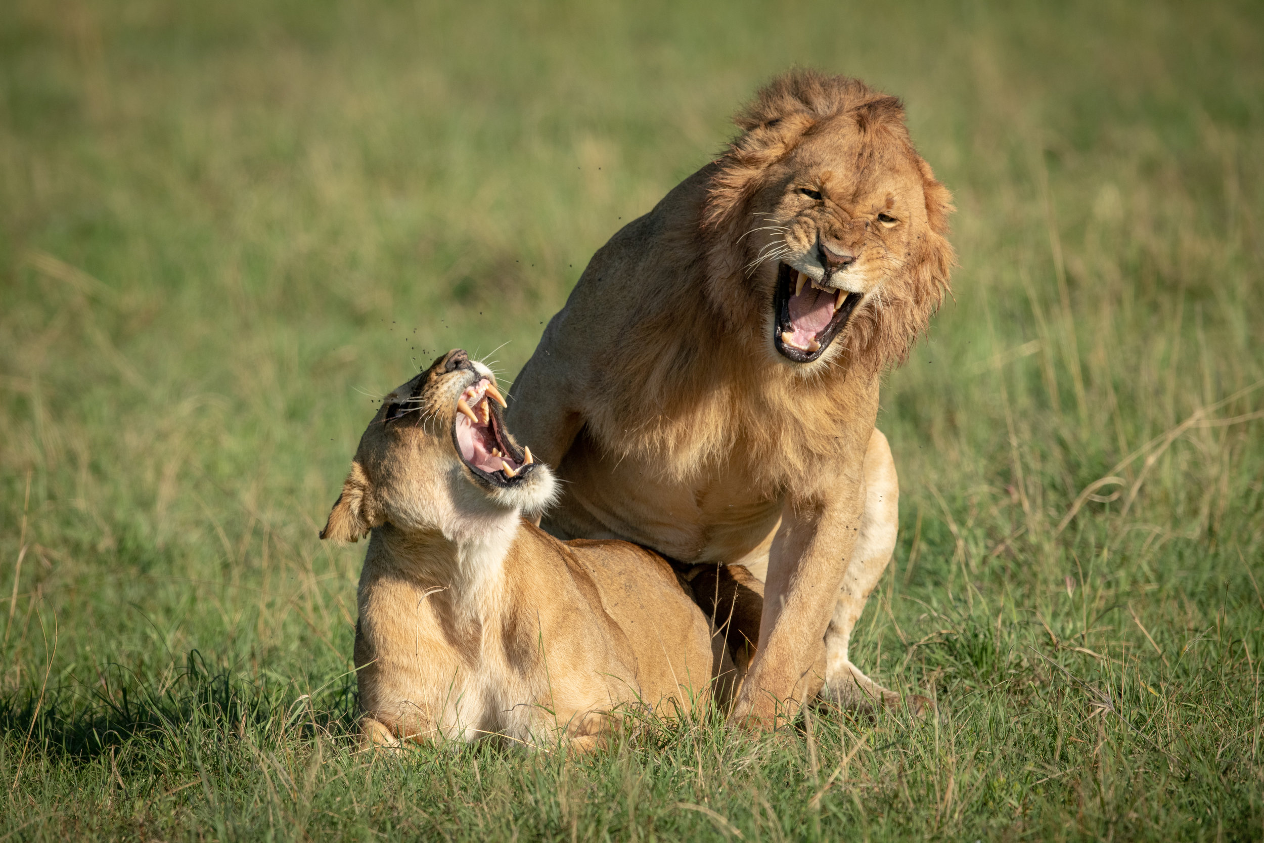 One can only imagine what these lions are shouting at each other…!