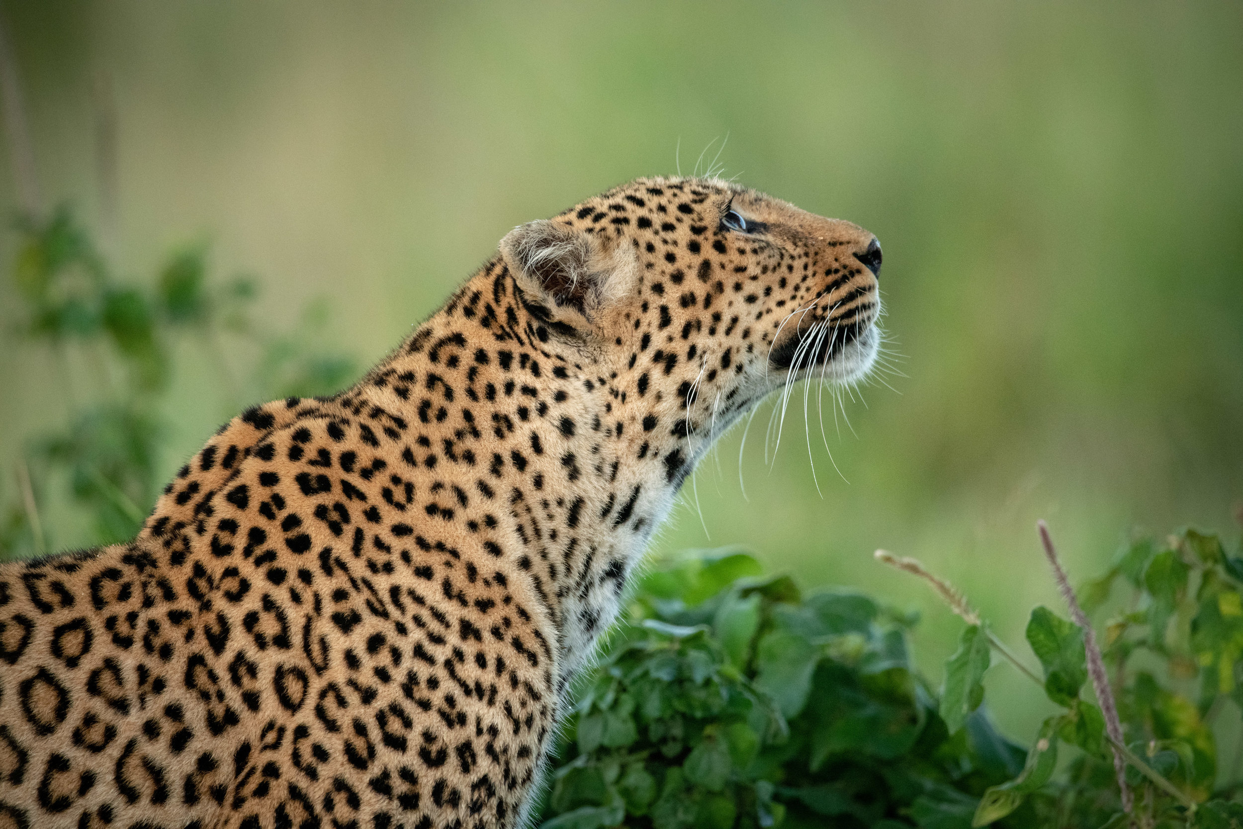 How a leopard got its spots…