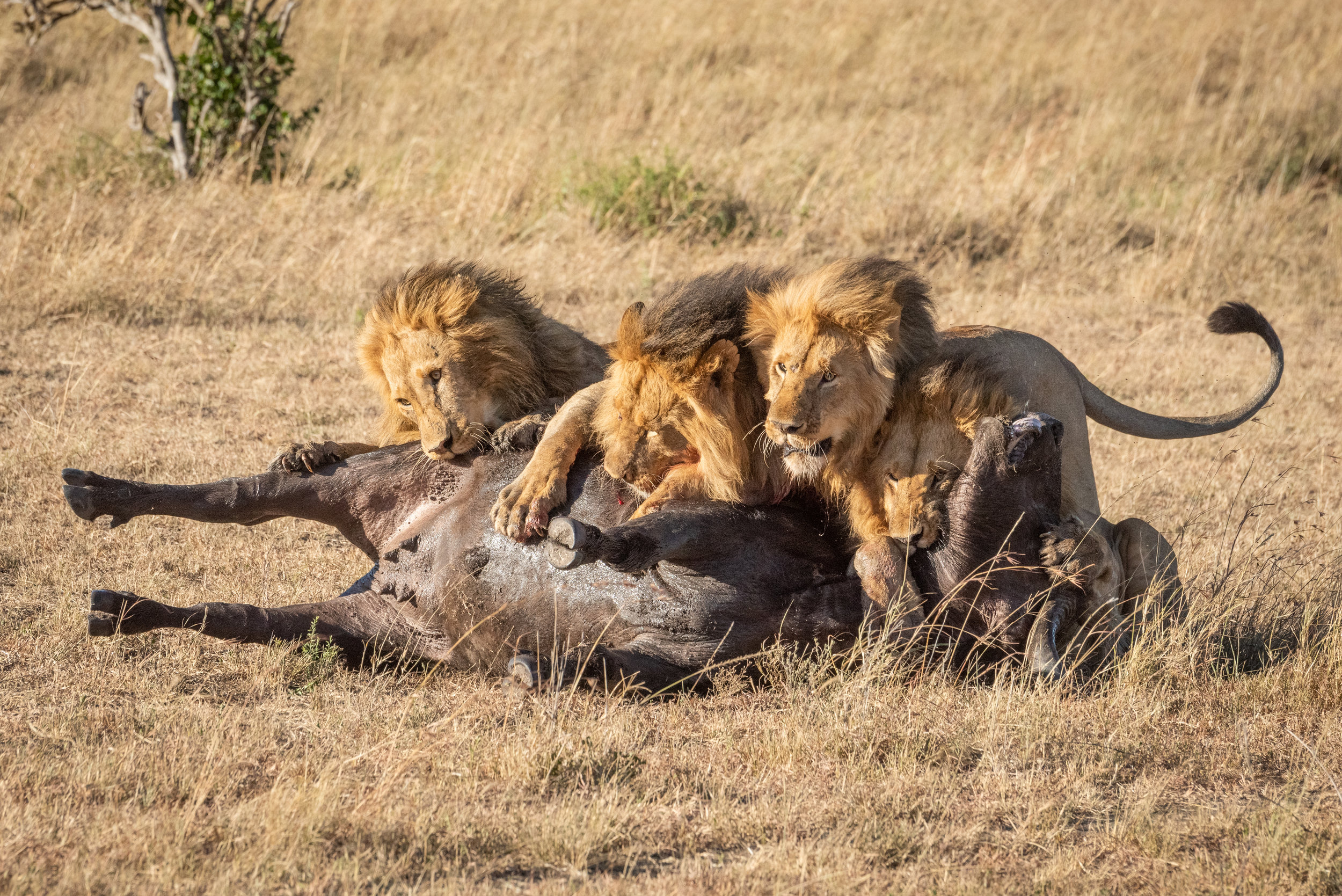 Four male lion lie on dead buffalo