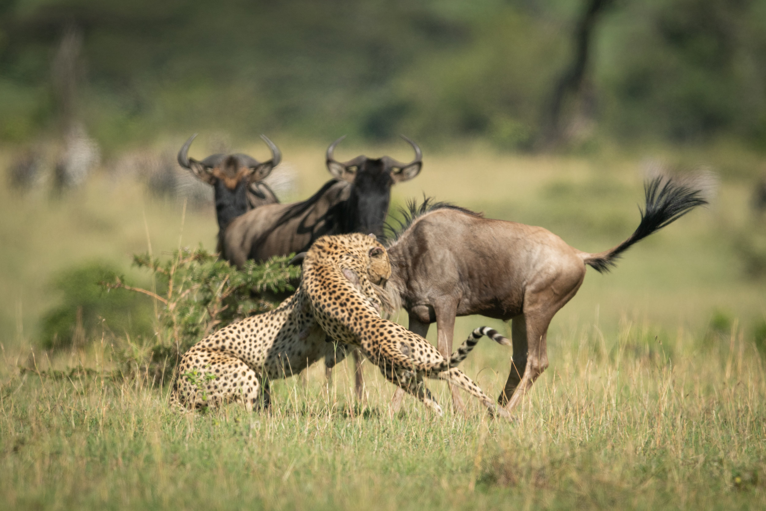 Blue wildebeest watch two cheetah catch another
