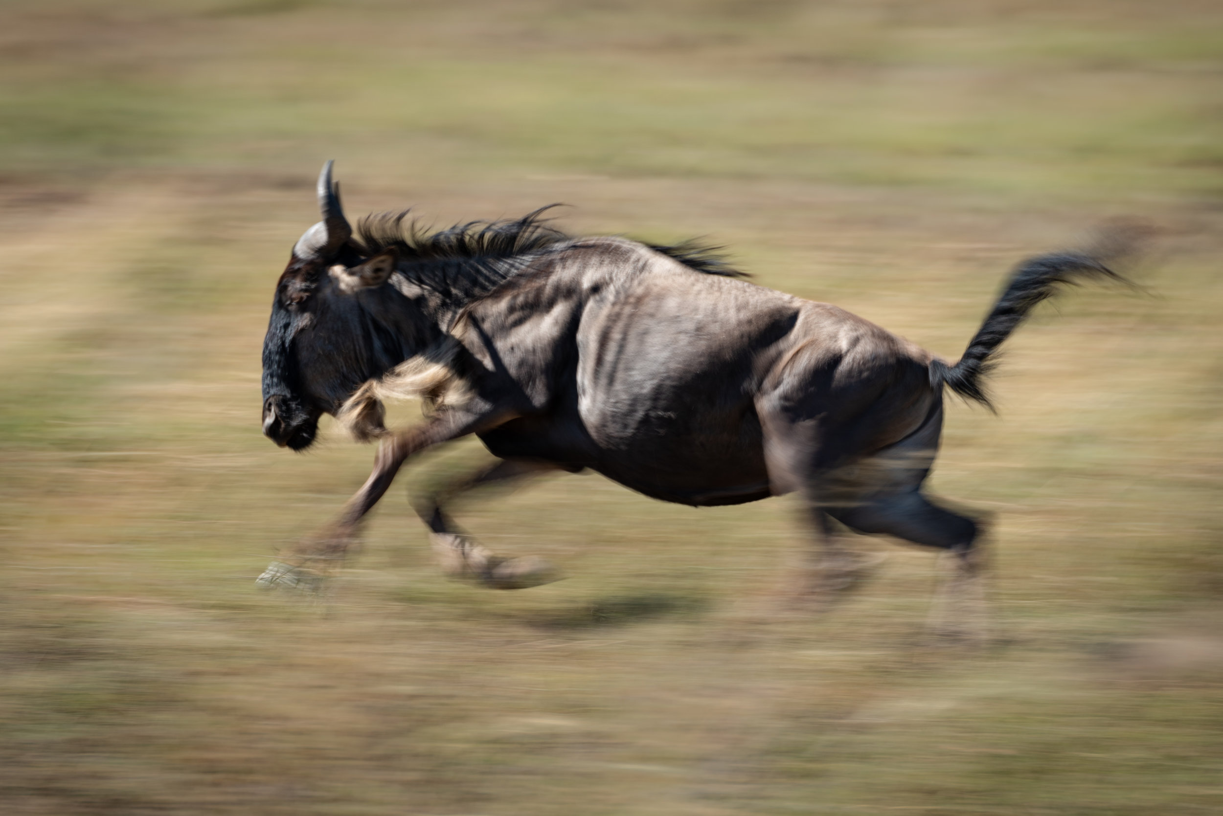 Slow pan of blue wildebeest galloping past