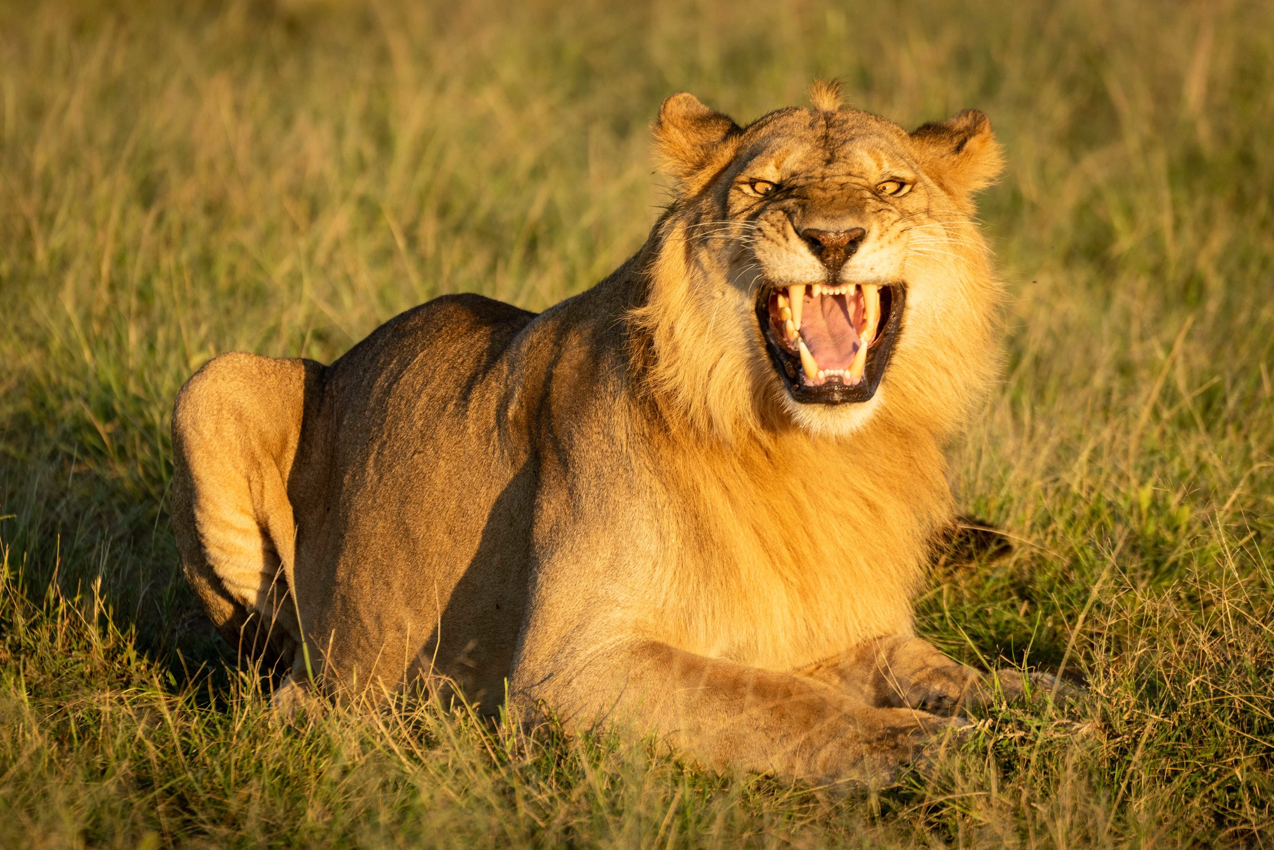 Male lion shows Flehmen response on grass