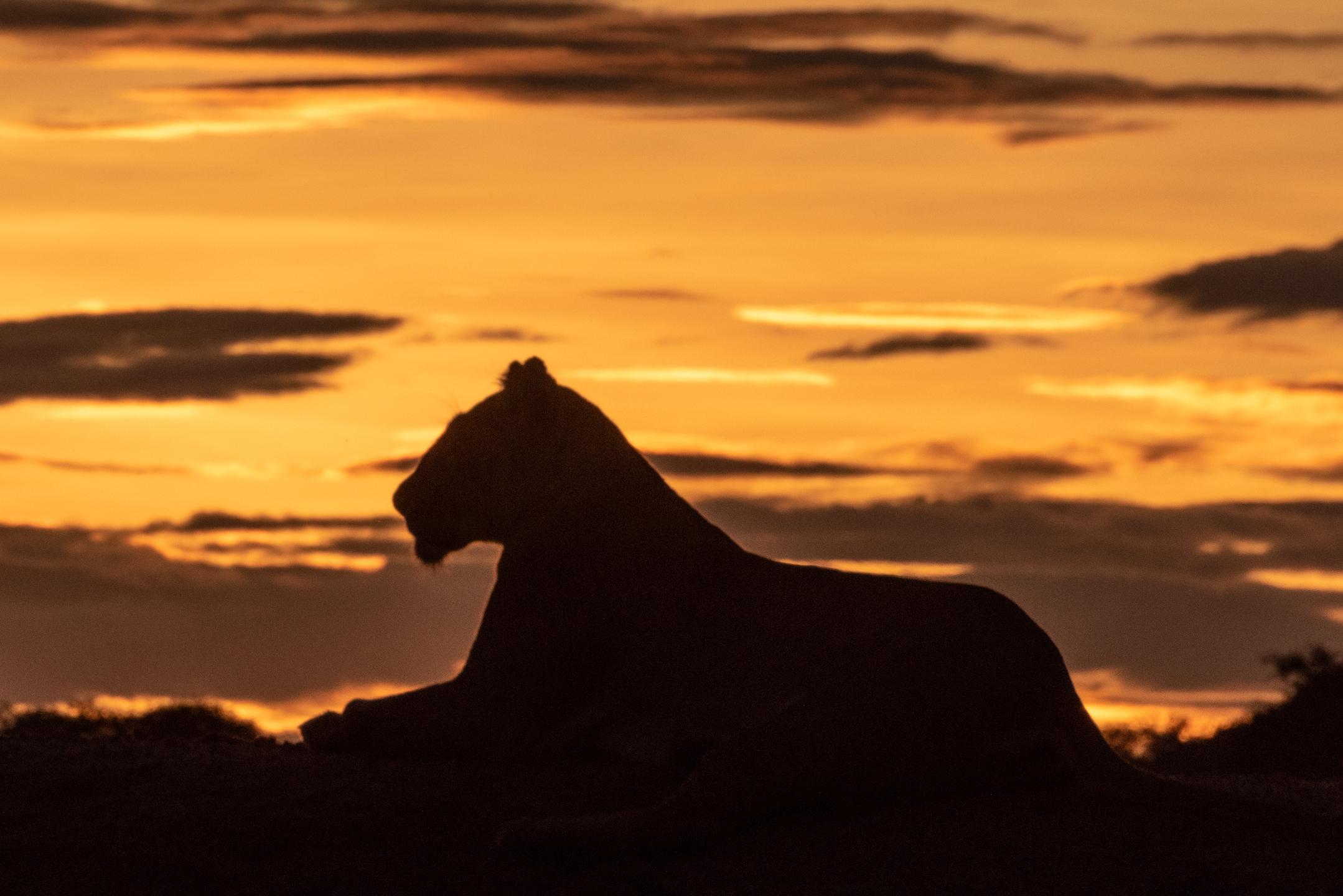 Lioness in silhouette at sunrise on the bank of the Maji Mbele pool