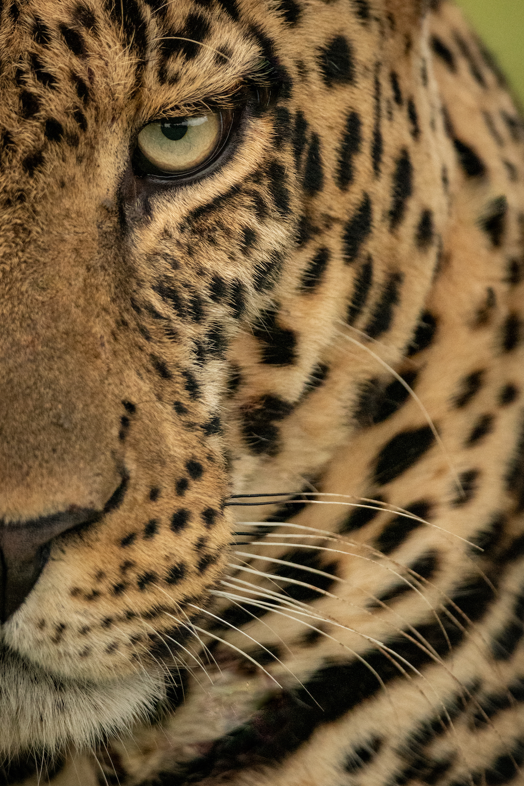 Close-up of half of male leopard face