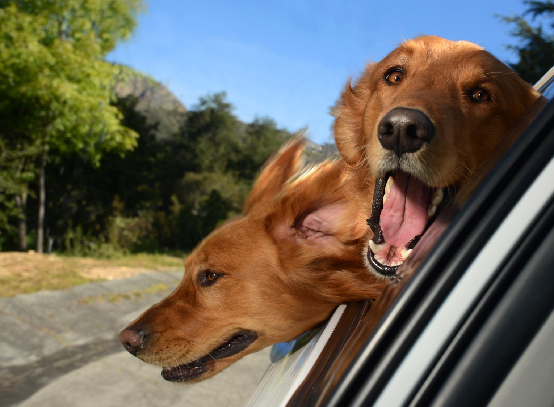 DogsinCars.2for website.jpg