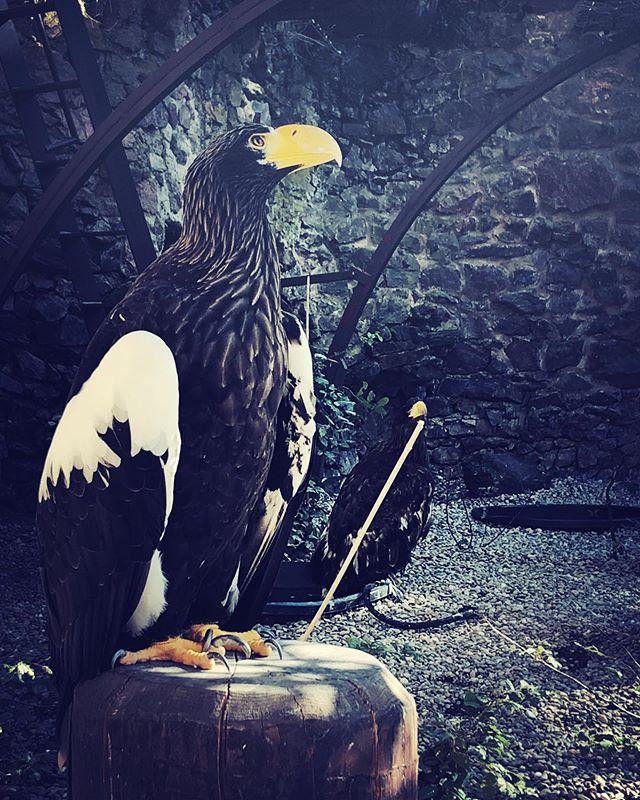 Fantastic bird !!! Pygargue de Steller  #alsace #voleriedesaigles #pygarguedesteller #pygargueempereur #whatabird #whatabeak #