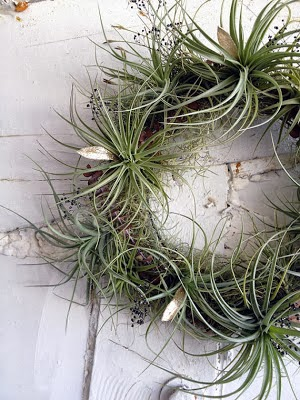 air plant holiday wreath