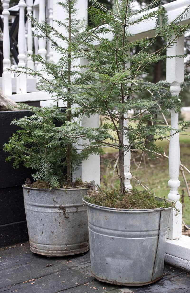 Christmas trees in buckets - simple holiday decorating