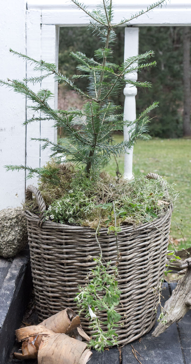 small outdoor Christmas tree in basket