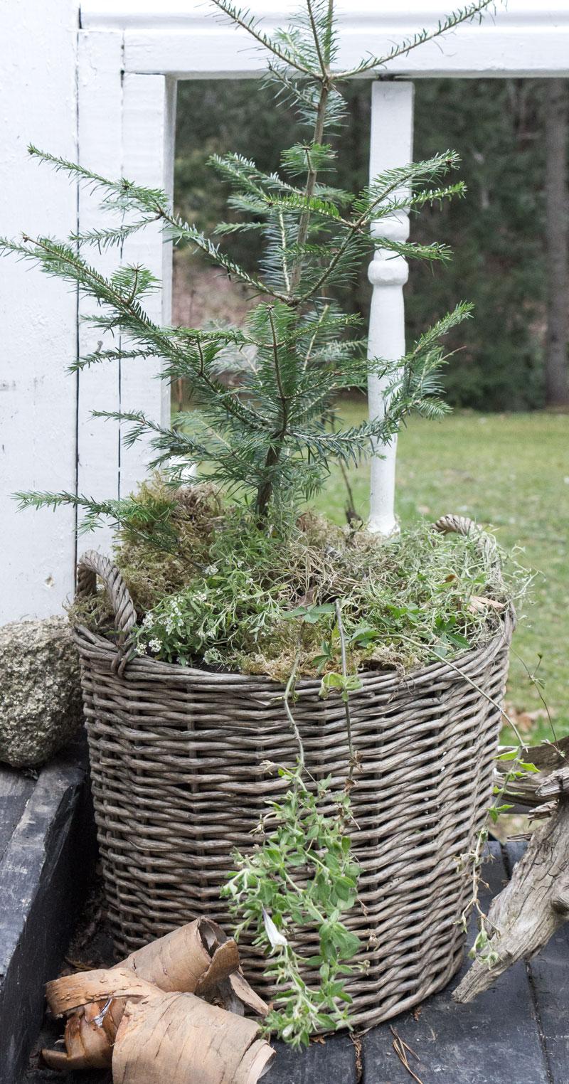 篮子里的户外小圣诞树