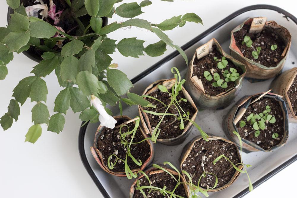 如何在自制的报纸花盆中种植草本种子