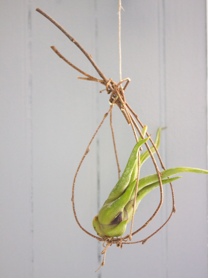 I bent a a few twigs and knotted them together for a hanging air plant holder