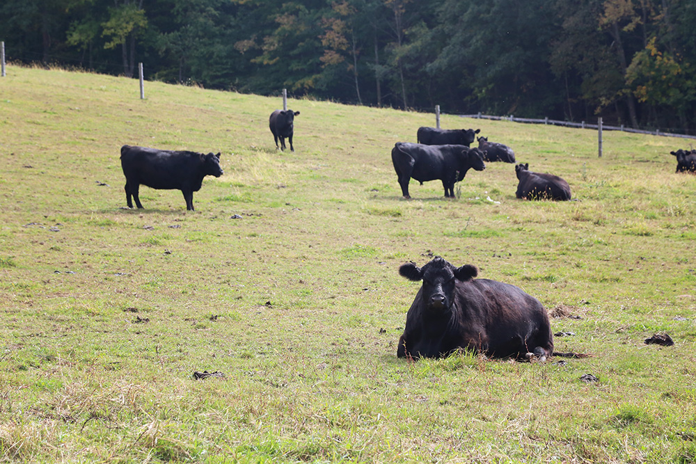 cows in the hudson valley