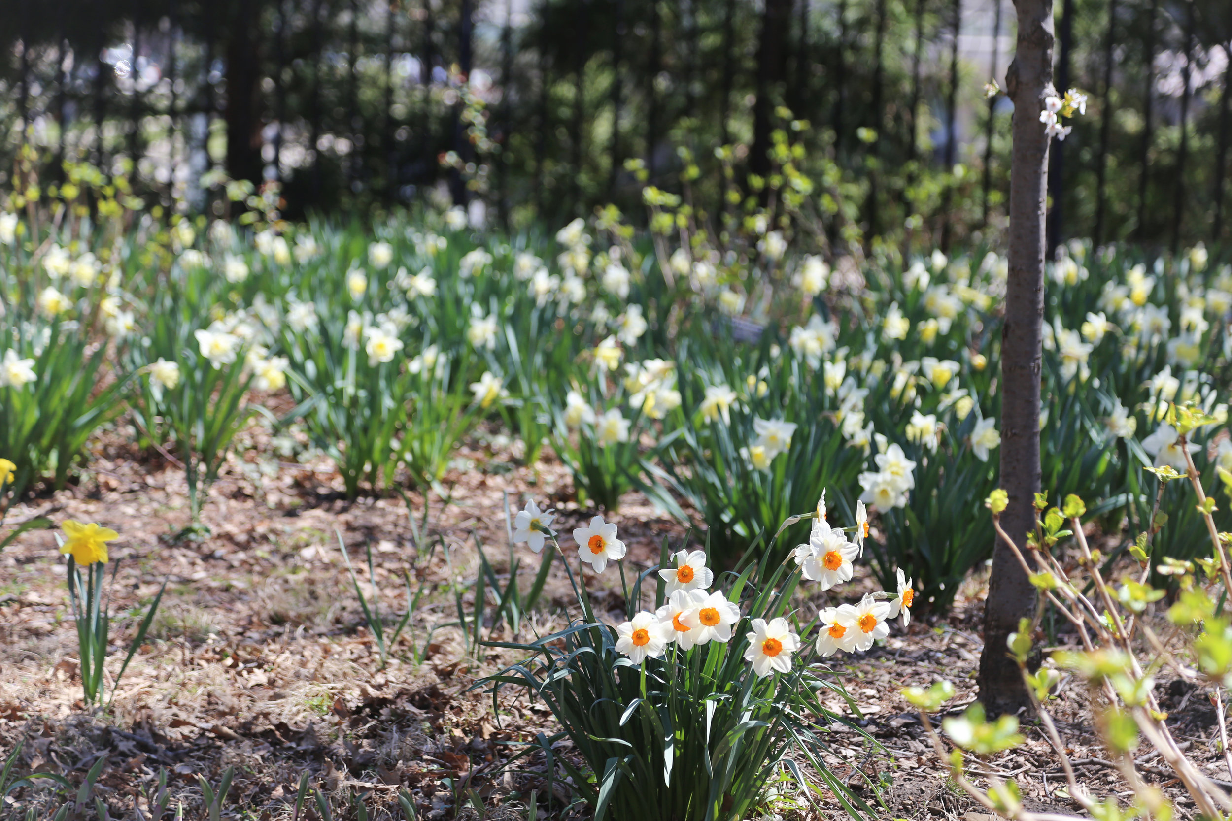 daffodils at the brooklyn botanic garden